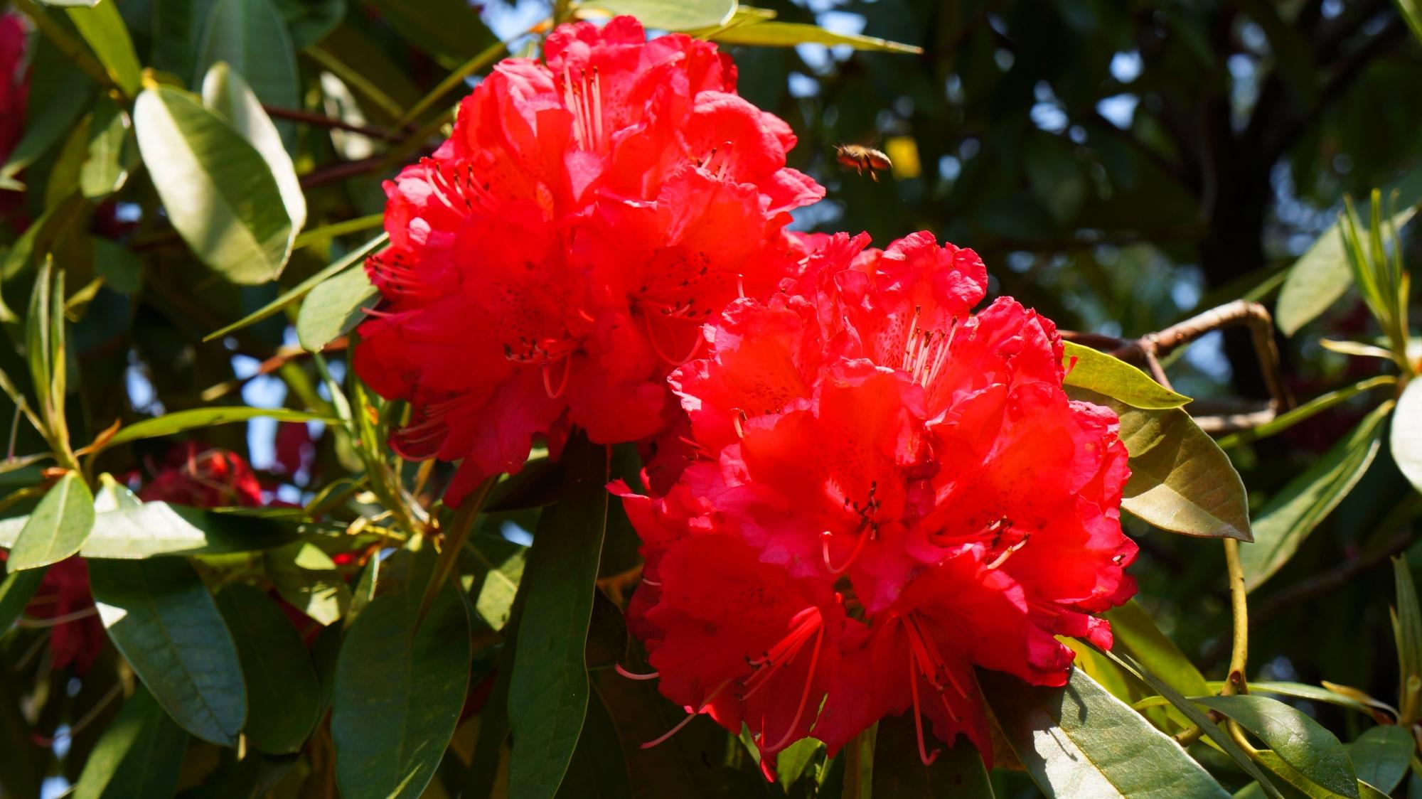 いろんな色があるシャクナゲ園の石楠花