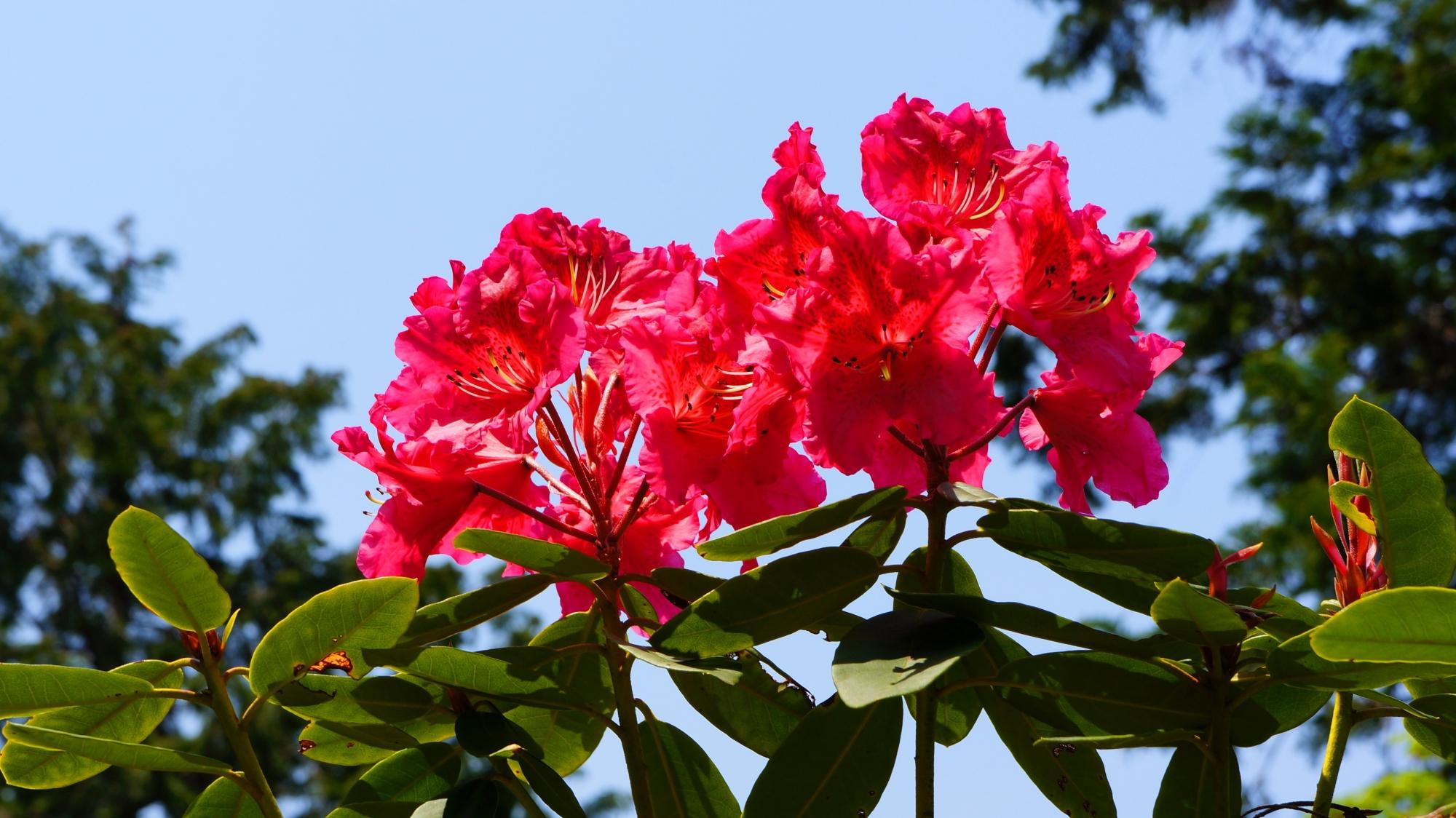 青空に映える鮮やかで透きとおるような石楠花