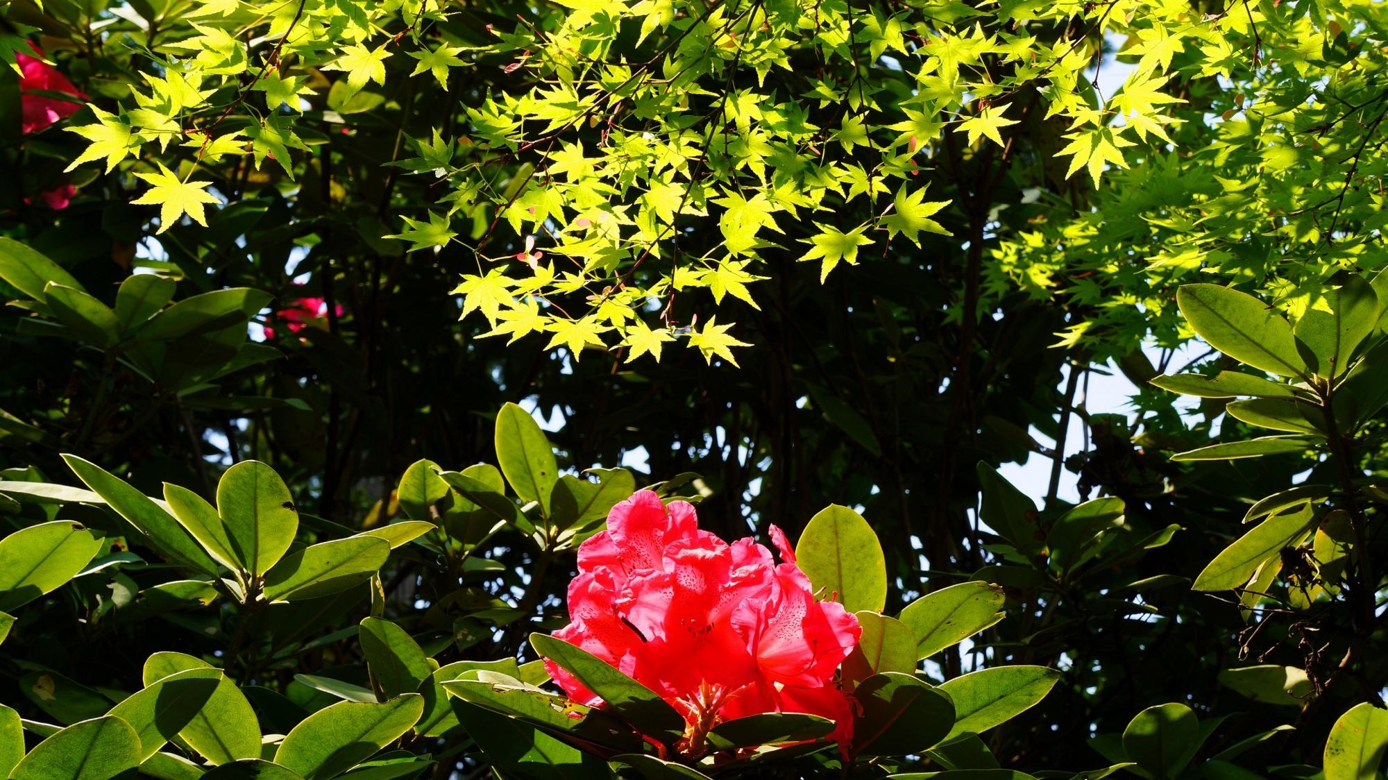 三室戸寺の眩い新緑の下で咲く真っ赤な石楠花