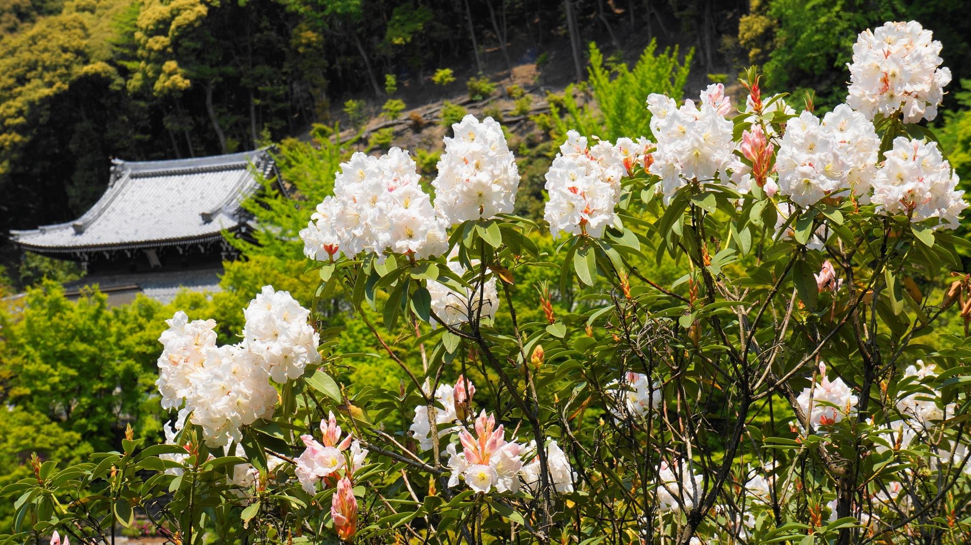 三室戸寺の伽藍を背景にした石楠花