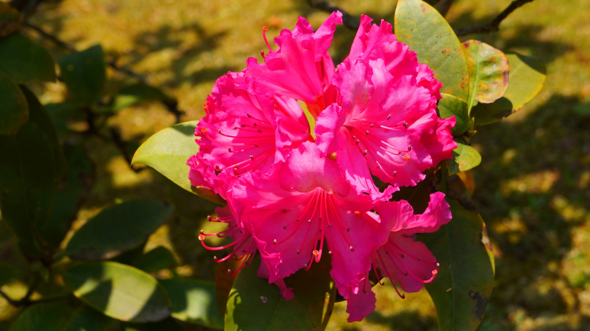 濃いビビッドなピンクの石楠花