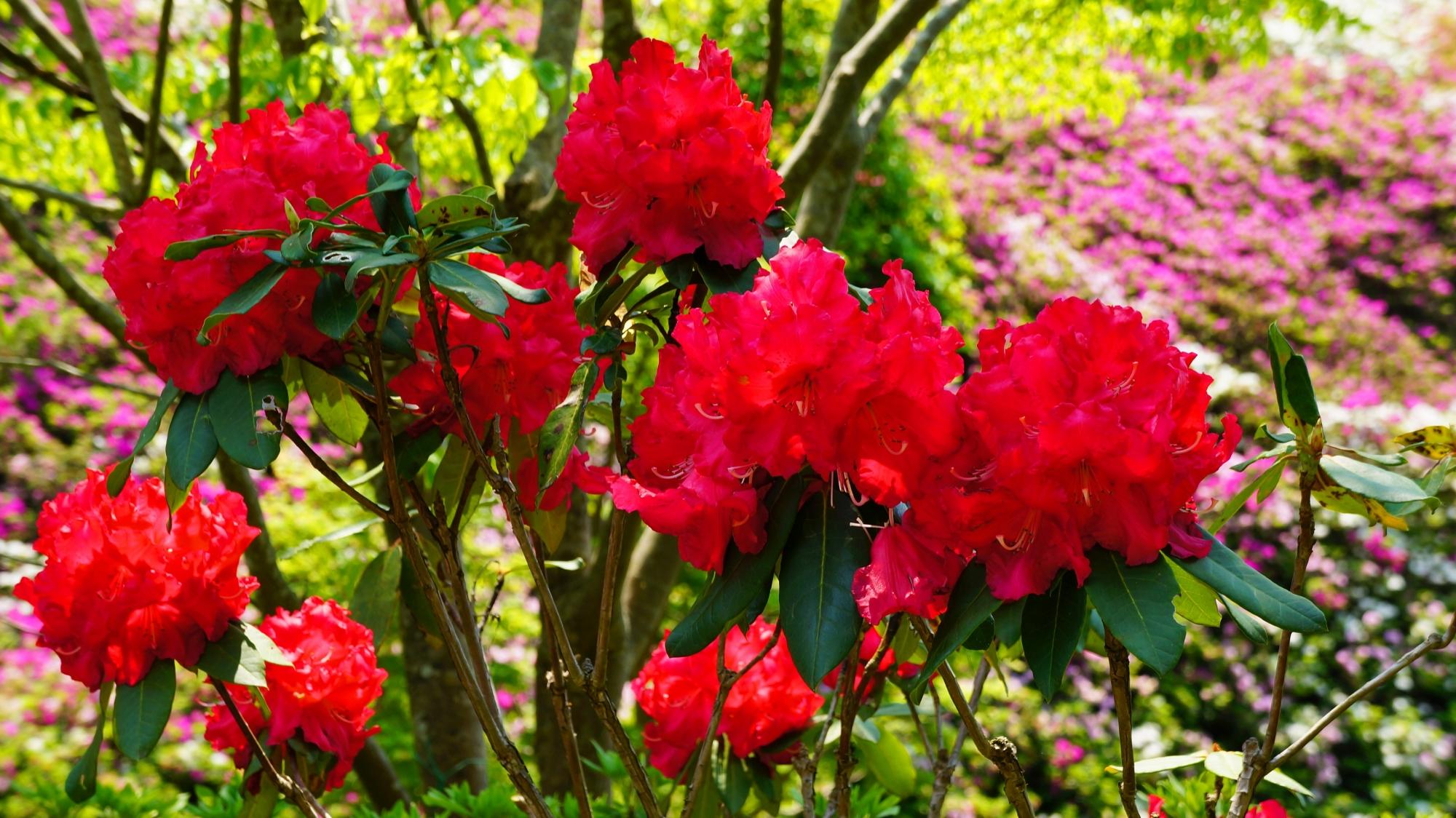 紫のツツジを背景にした満開の赤い石楠花