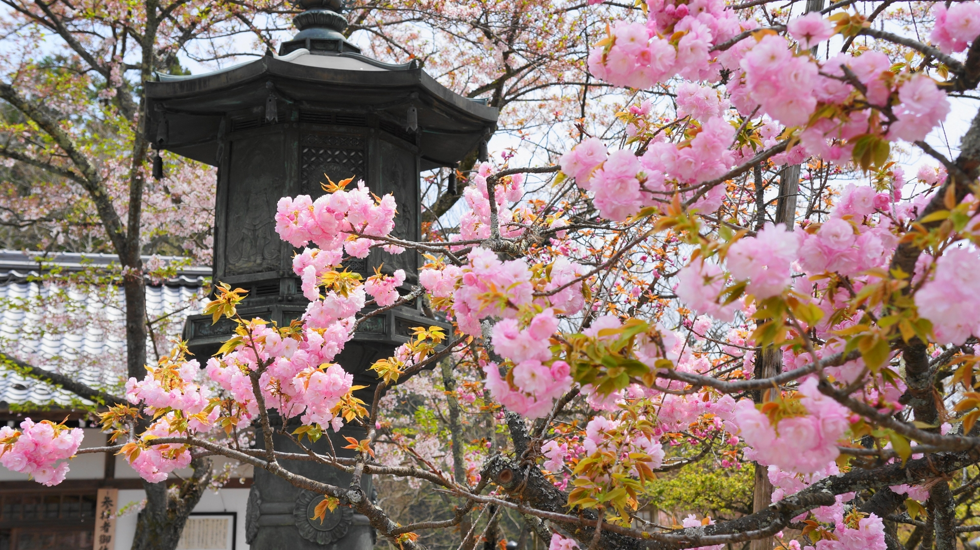 cherry blossoms Kurama-dera Temple Kyoto 満開 春 鞍馬寺 桜 金堂