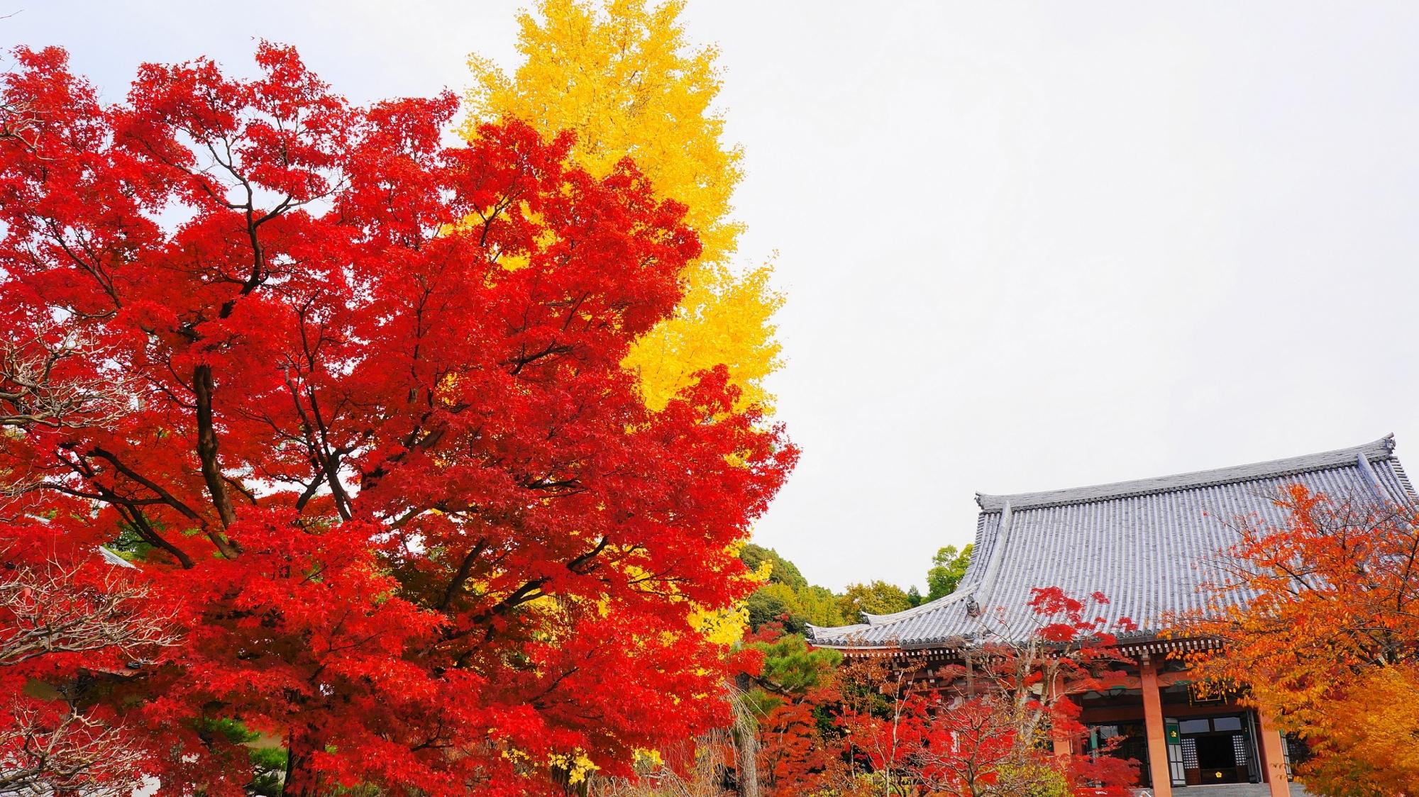 秋が賑わう智積院の雄大な金堂と紅葉や銀杏