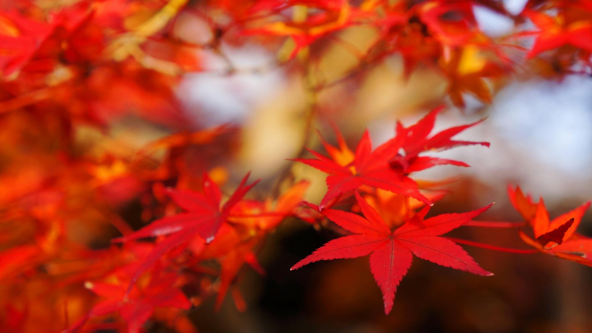 秋風に華やかに揺らめく紅葉