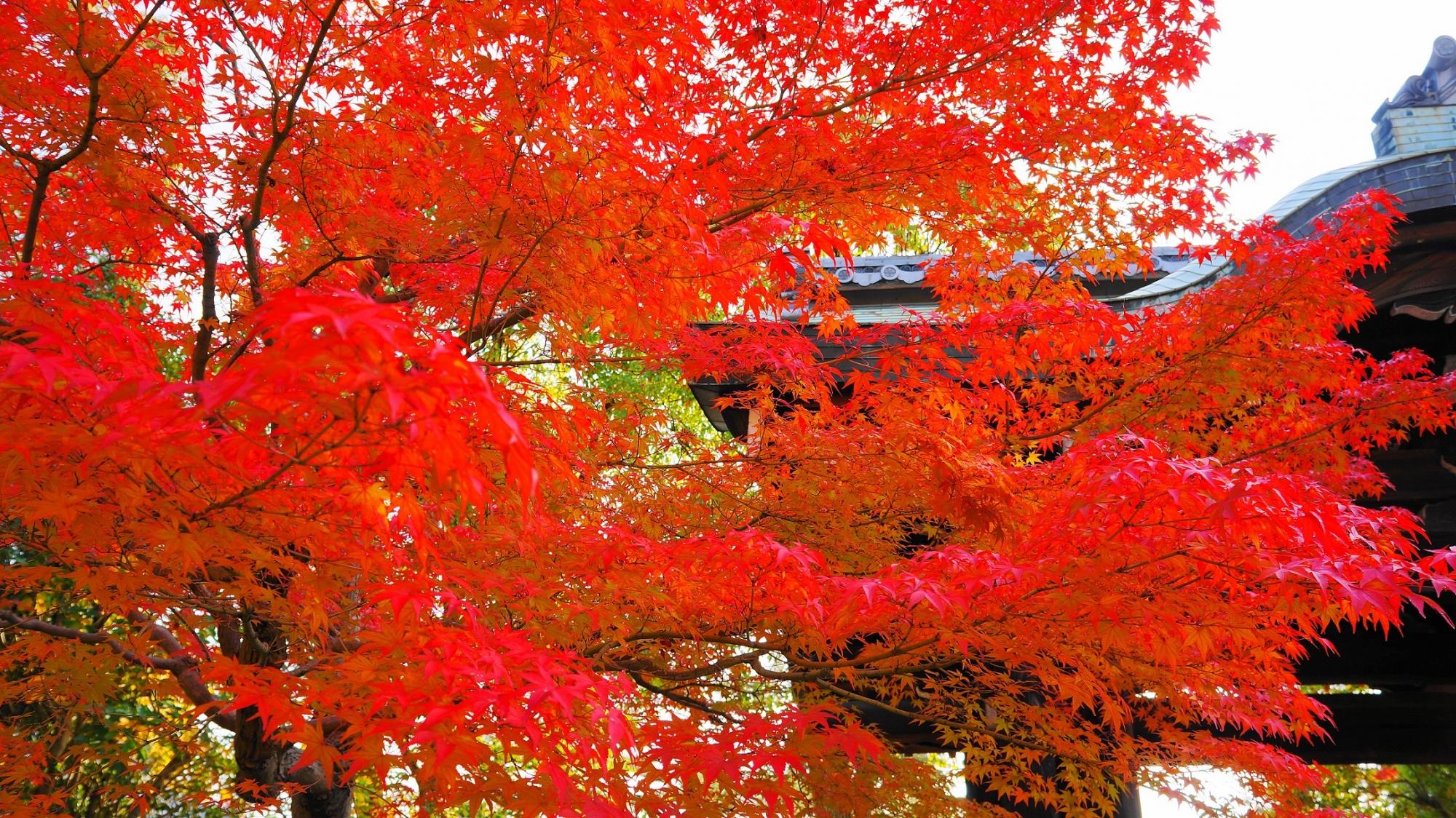 瑞々しく発色も素晴らしい紅葉