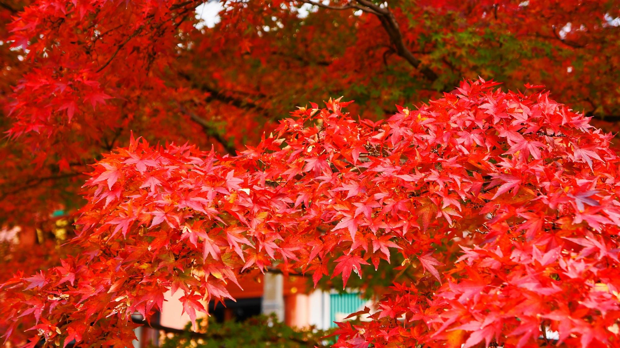 溢れる真紅の紅葉