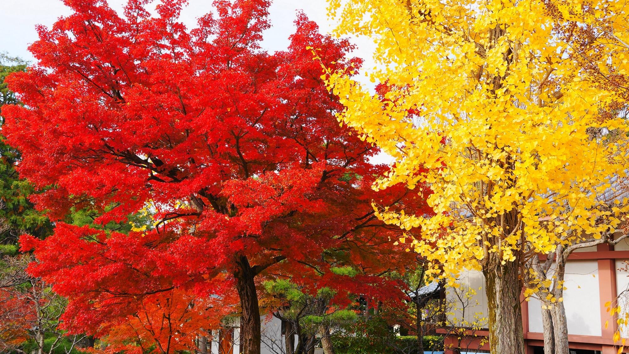 鮮やかな紅葉と銀杏が彩る智積院の白壁の収蔵庫
