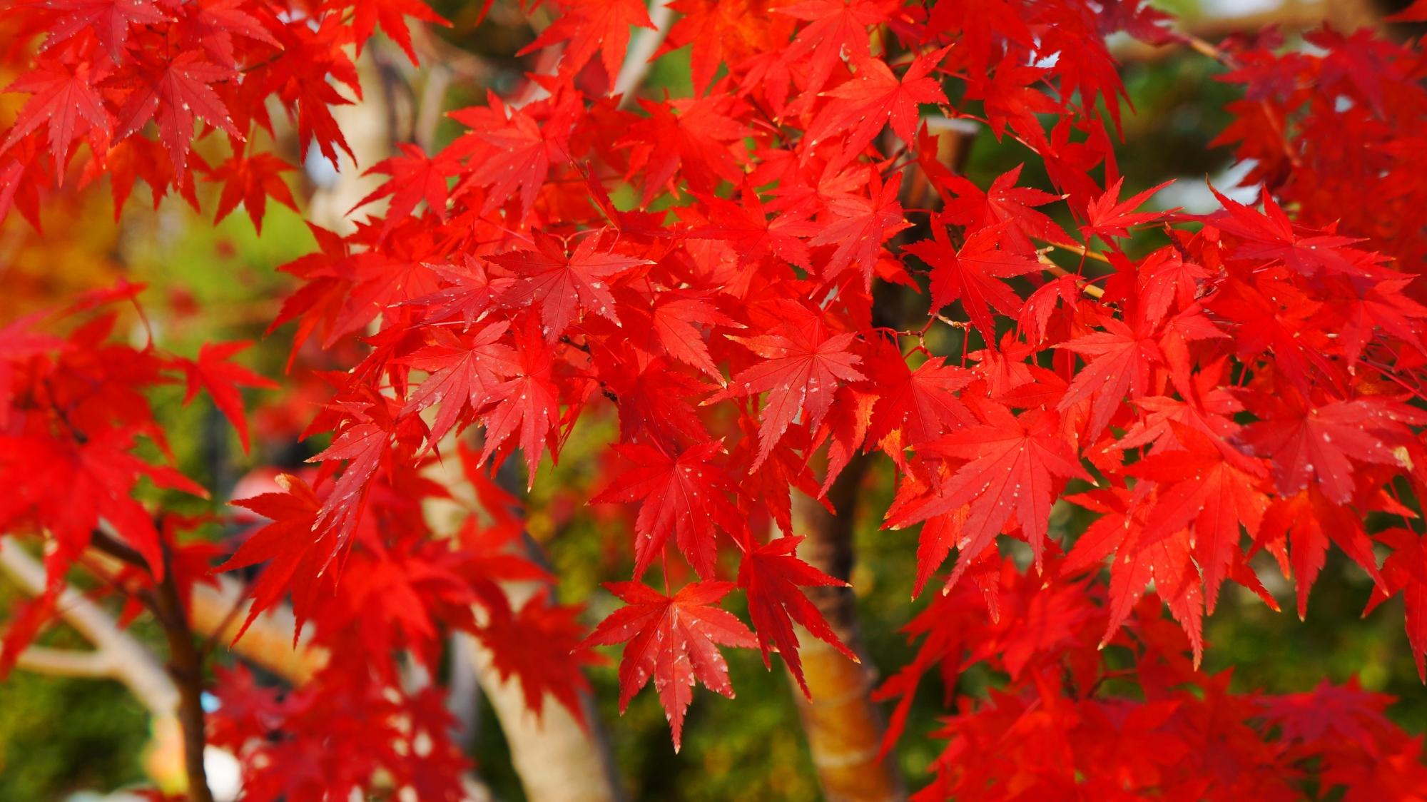 秋風にそよぐ真紅の紅葉