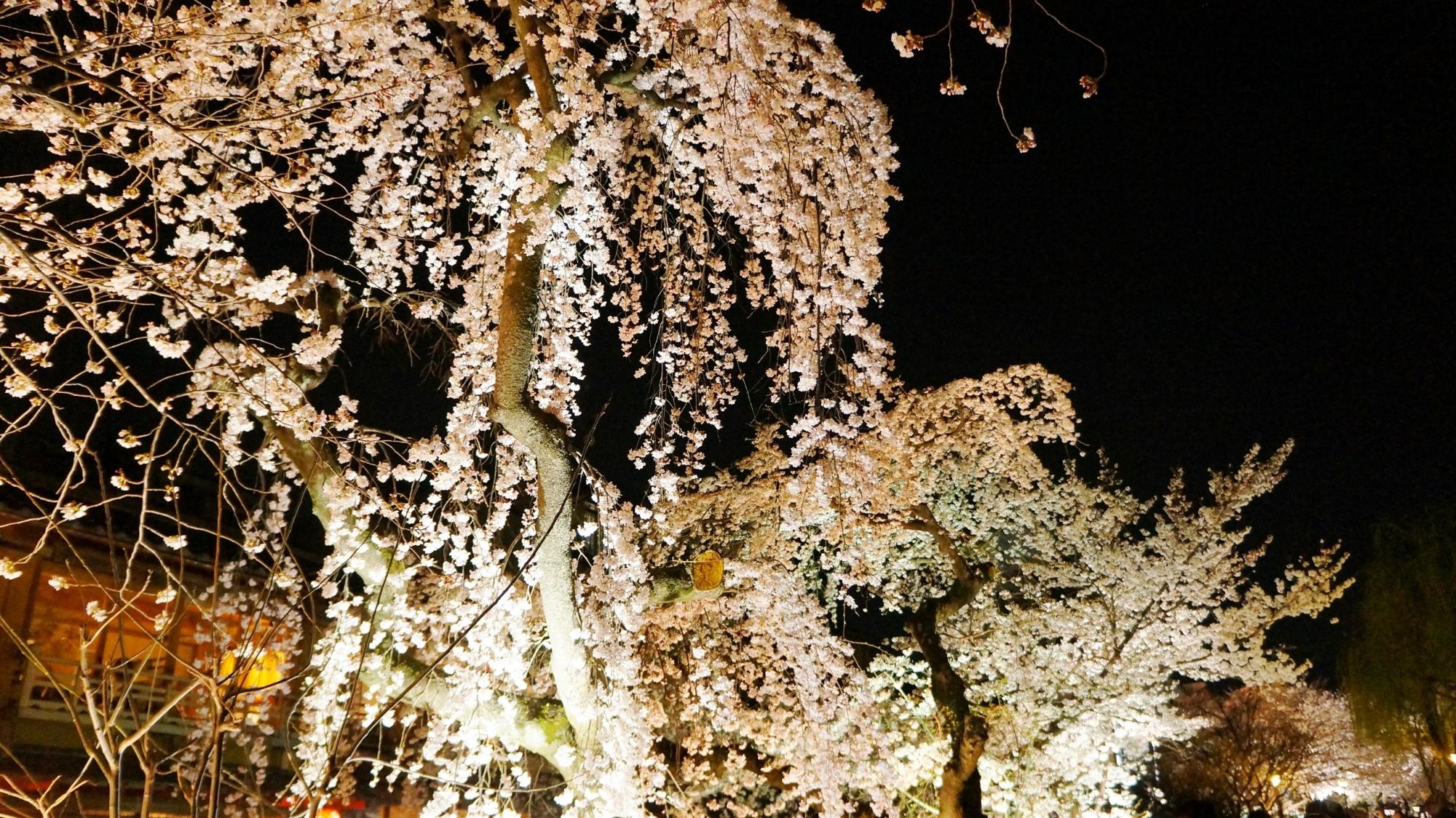 Kyoto Gion Shirakawa weeping cherry tree light up spring