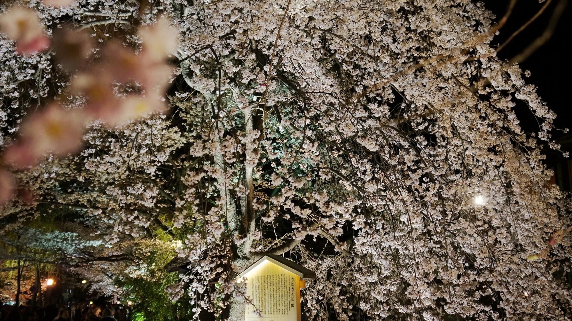 京都祇園白川のかにかくに碑と満開のライトアップされた枝垂れ桜