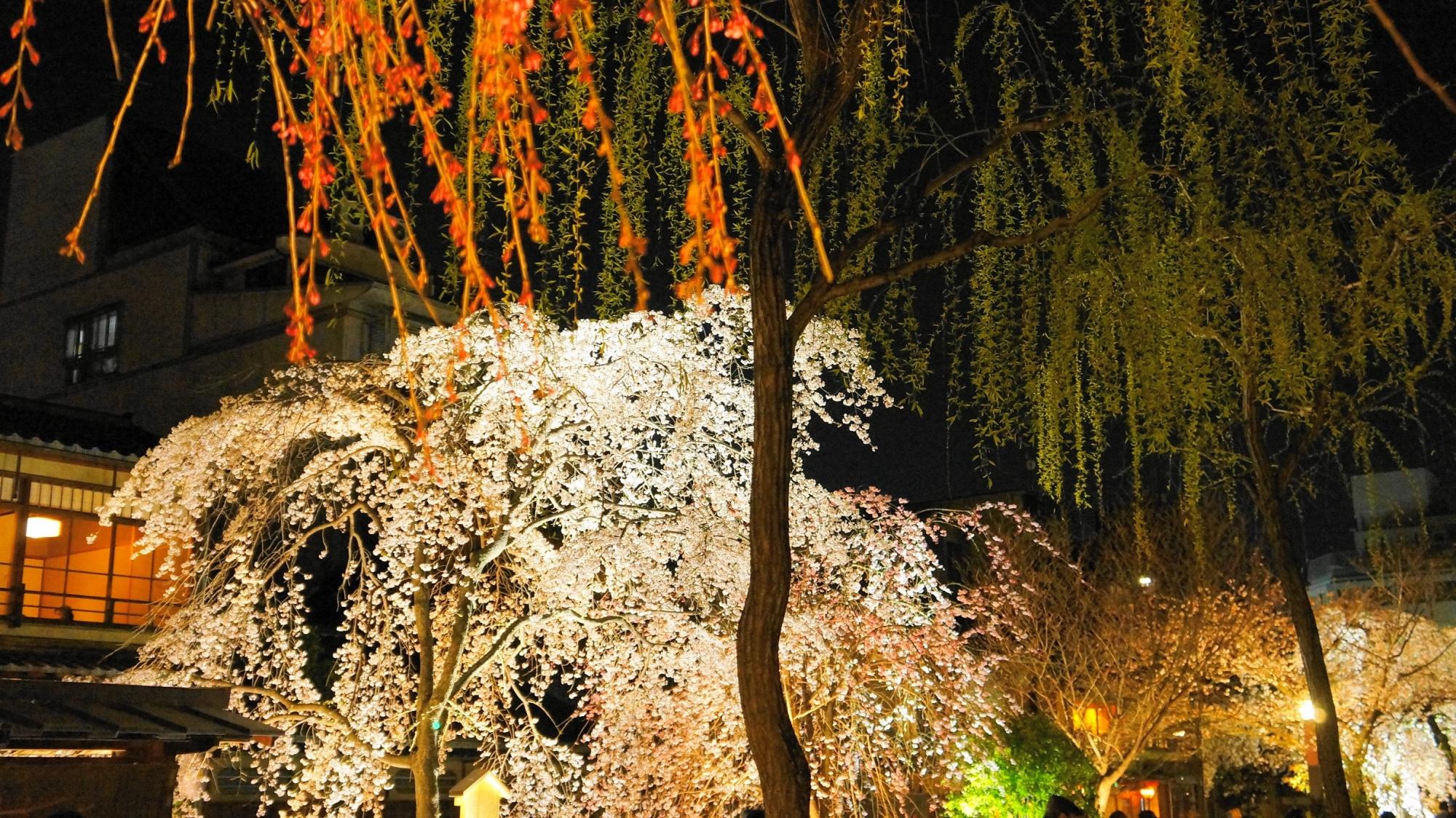 祇園白川の見事なしだれ桜と柳のコラボレーション
