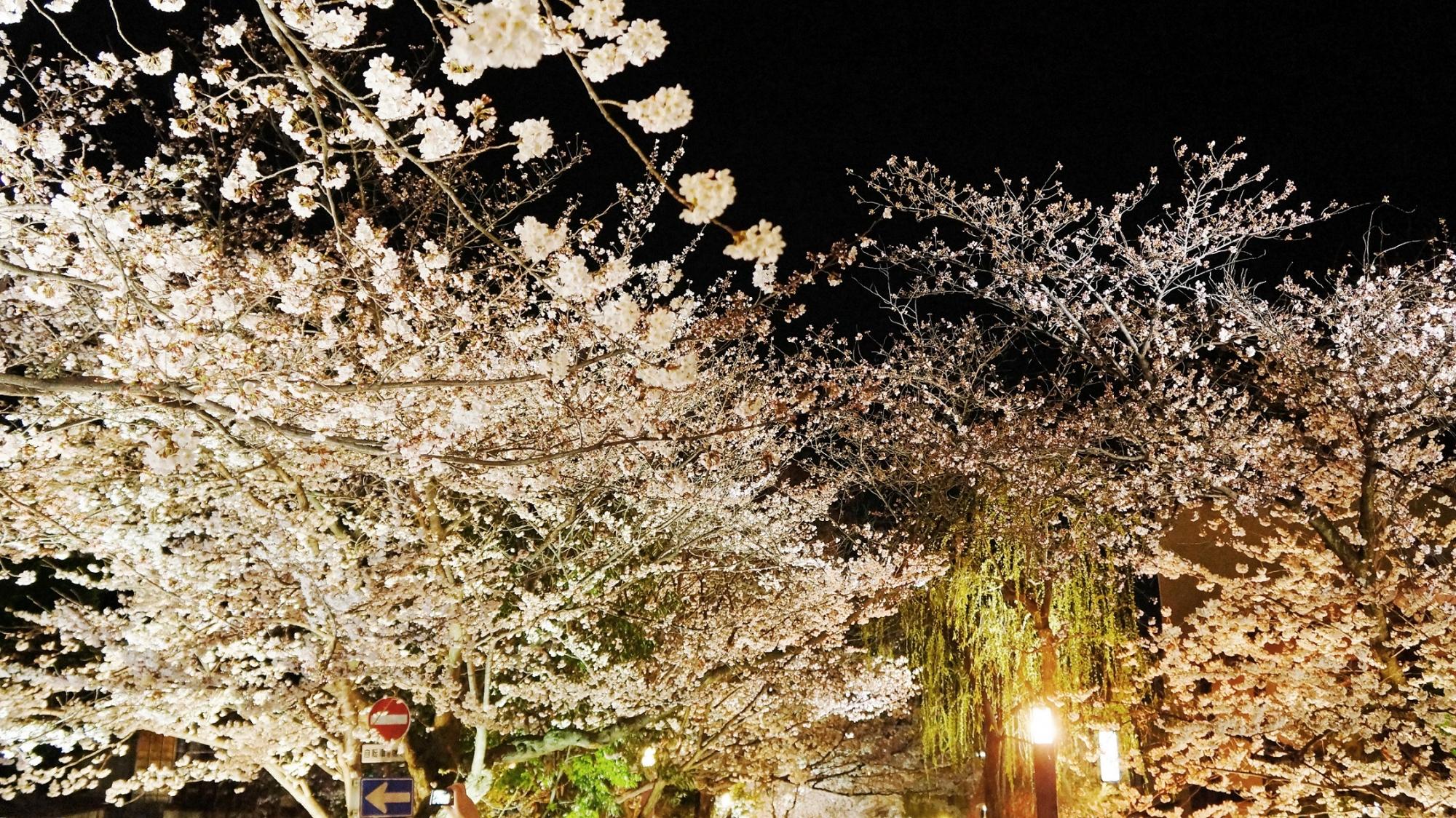 祇園白川の華やかな夜桜と優美な柳