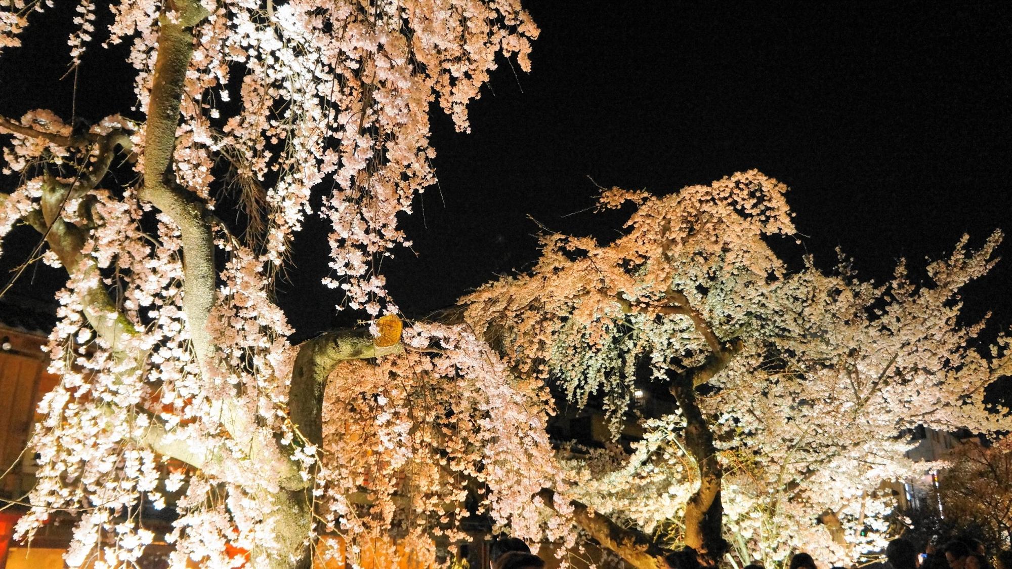 春の祇園白川の綺麗なしだれ桜ライトアップ