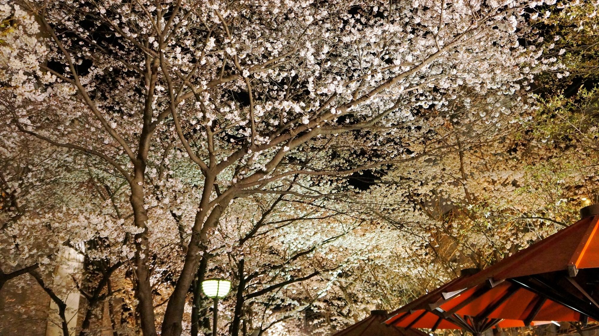春の祇園白川の空に広がる見事な満開の夜桜のライトアップ