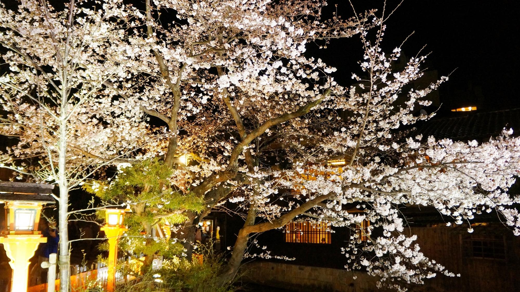 祇園白川 夜桜 ライトアップ 春 幻想的