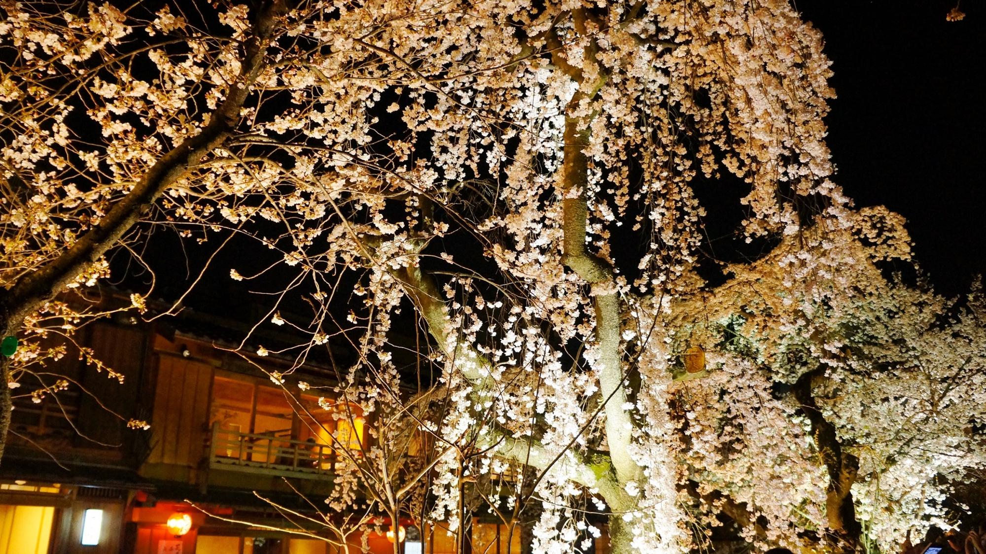 祇園白川の満開の華やかなしだれ桜ライトアップ
