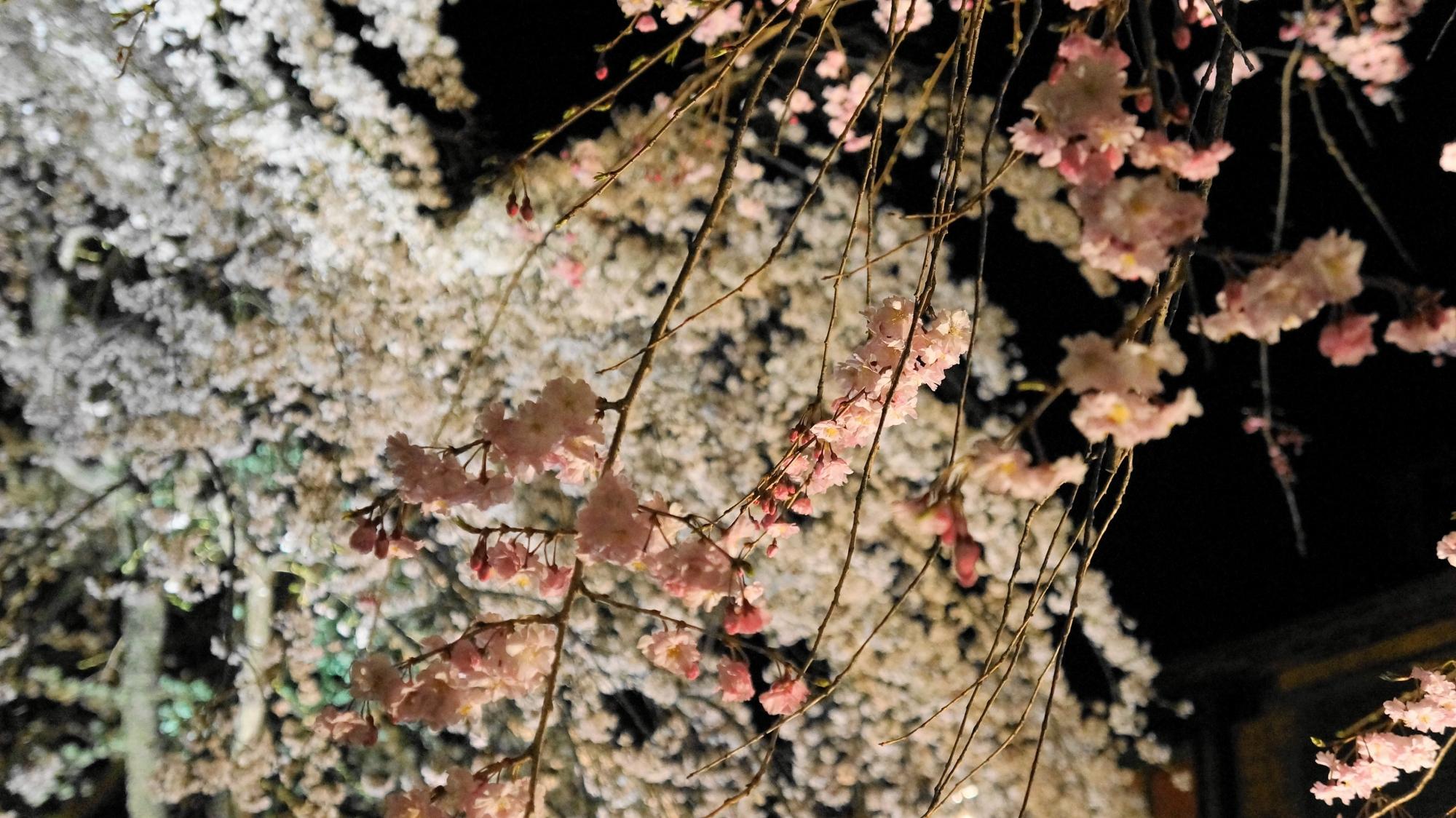 かにかくに碑 しだれ桜 ライトアップ 祇園白川 満開 春