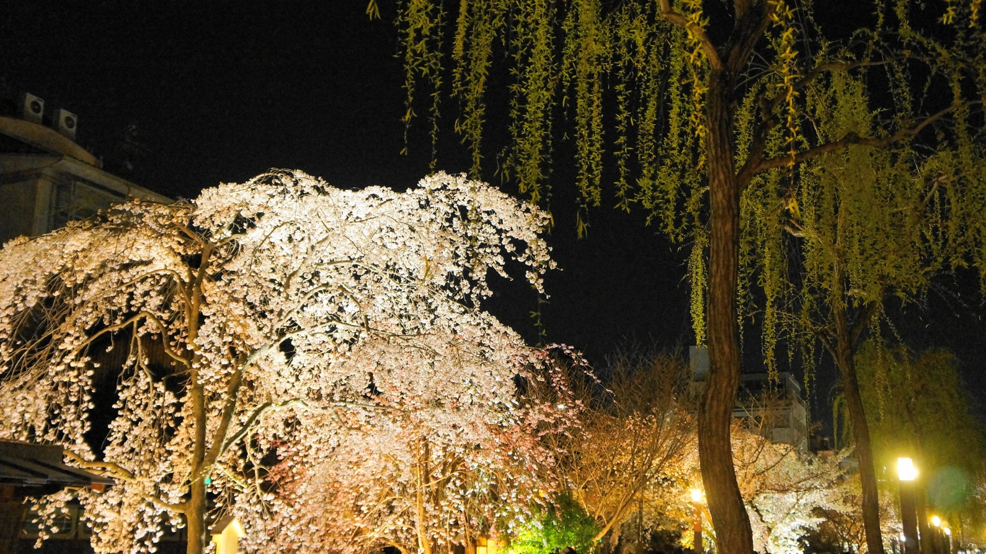 祇園白川 夜桜 柳 春 ライトアップ