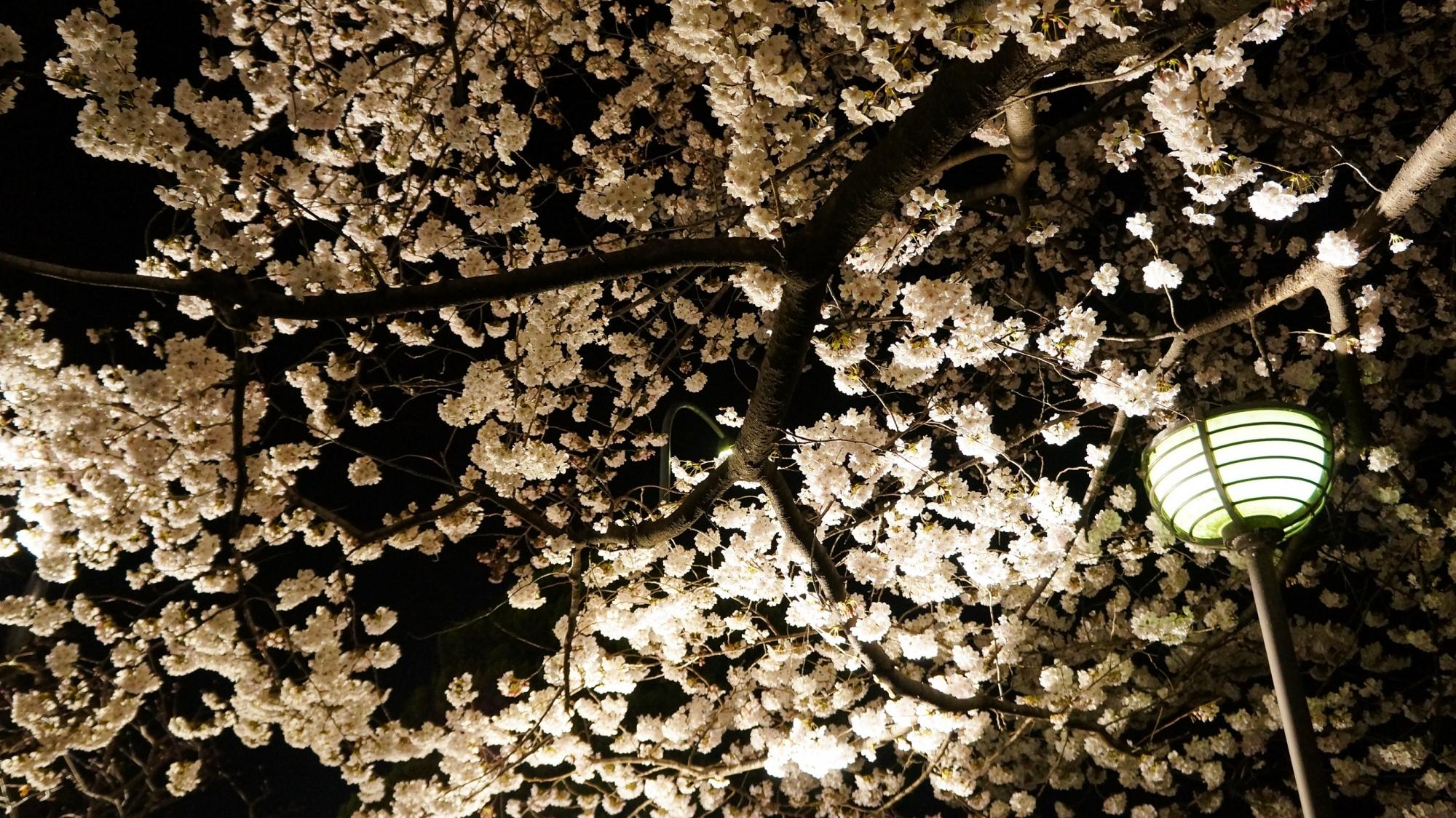 祇園白川のライトアップされた満開の桜の天井