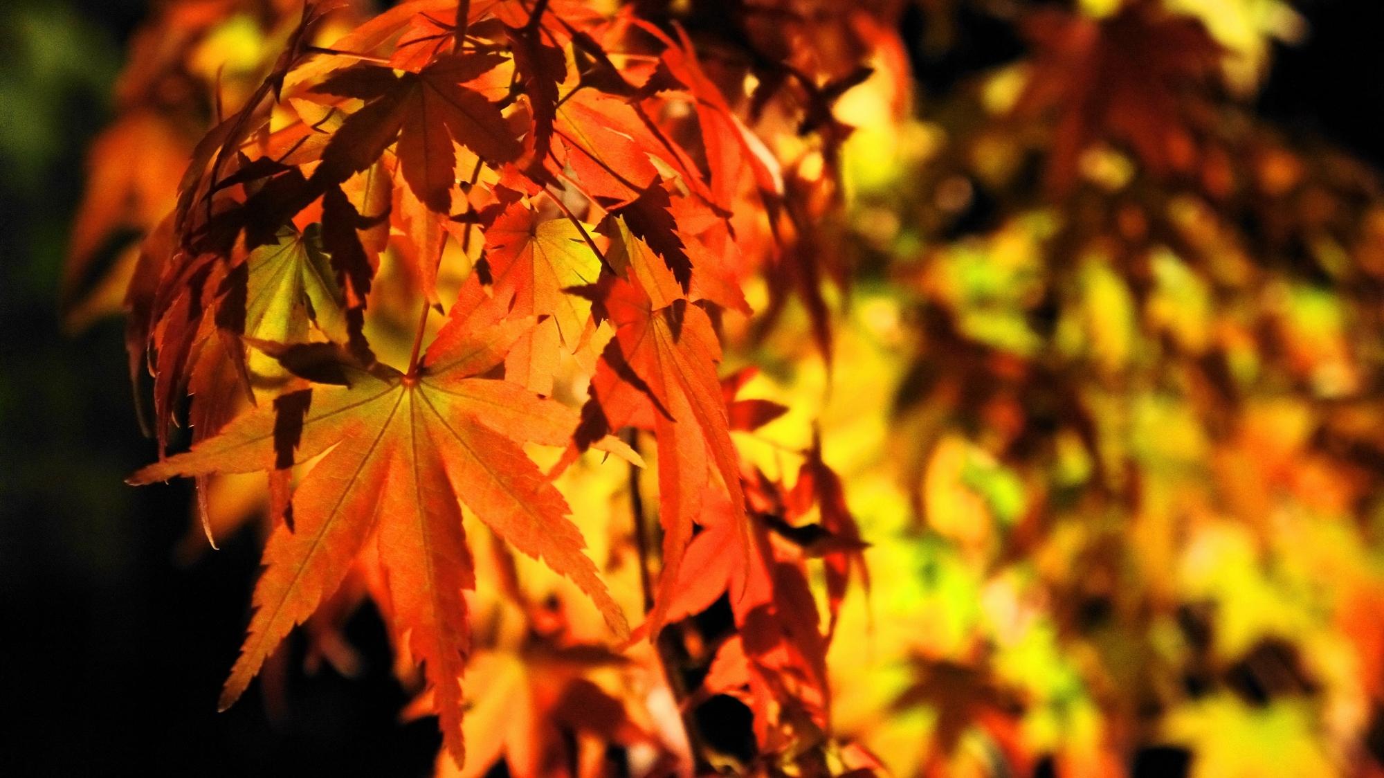 京都知恩院の女坂の見ごろの紅葉の幻想的なライトアップ