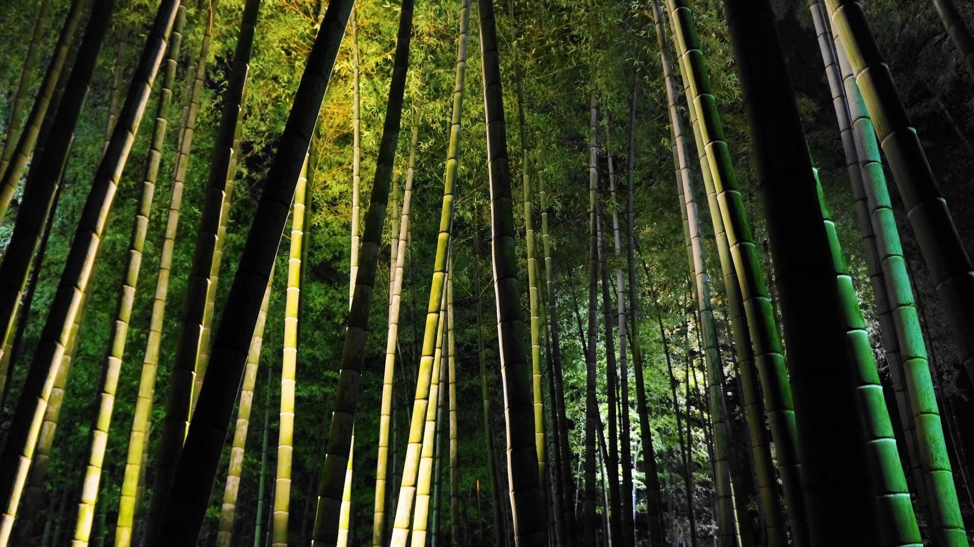 高台寺の竹林の見事なライトアップ