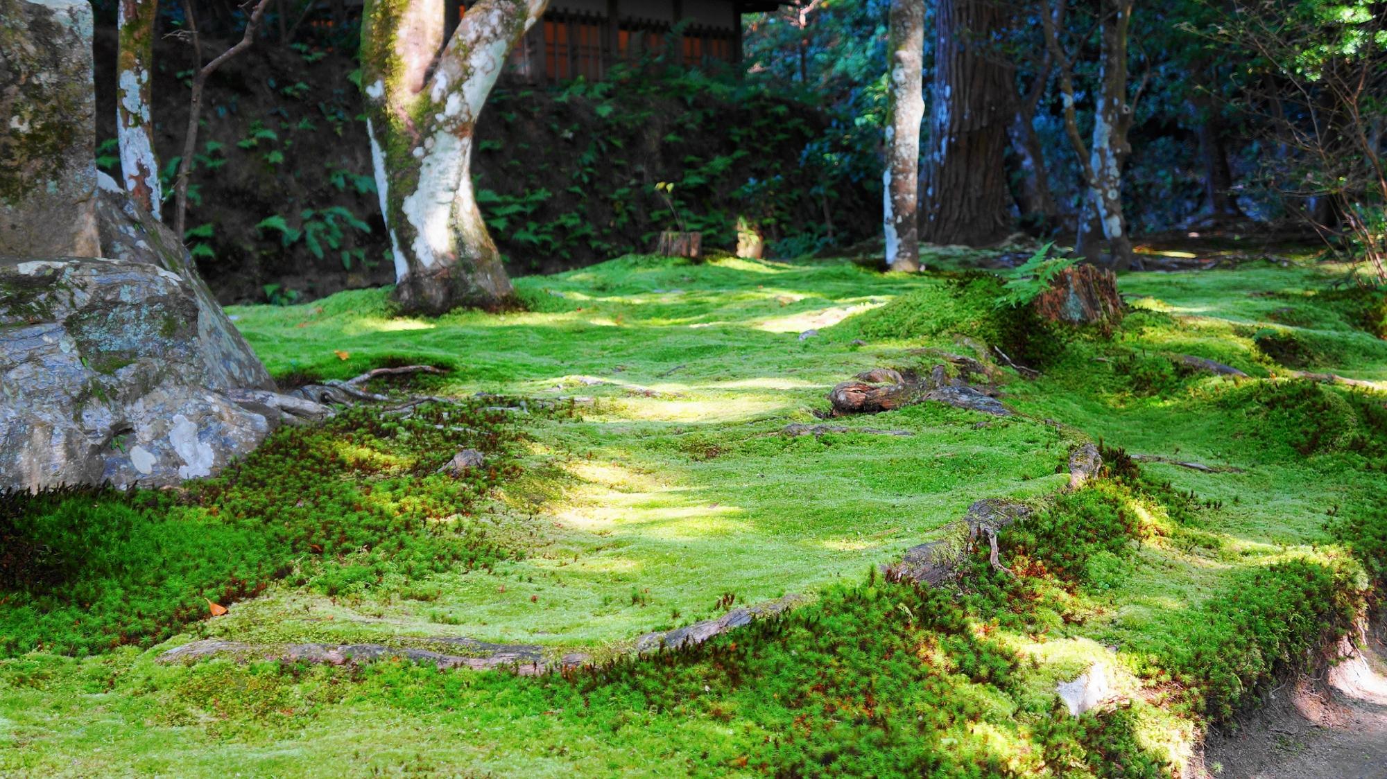 法然院の緑の苔とシダ