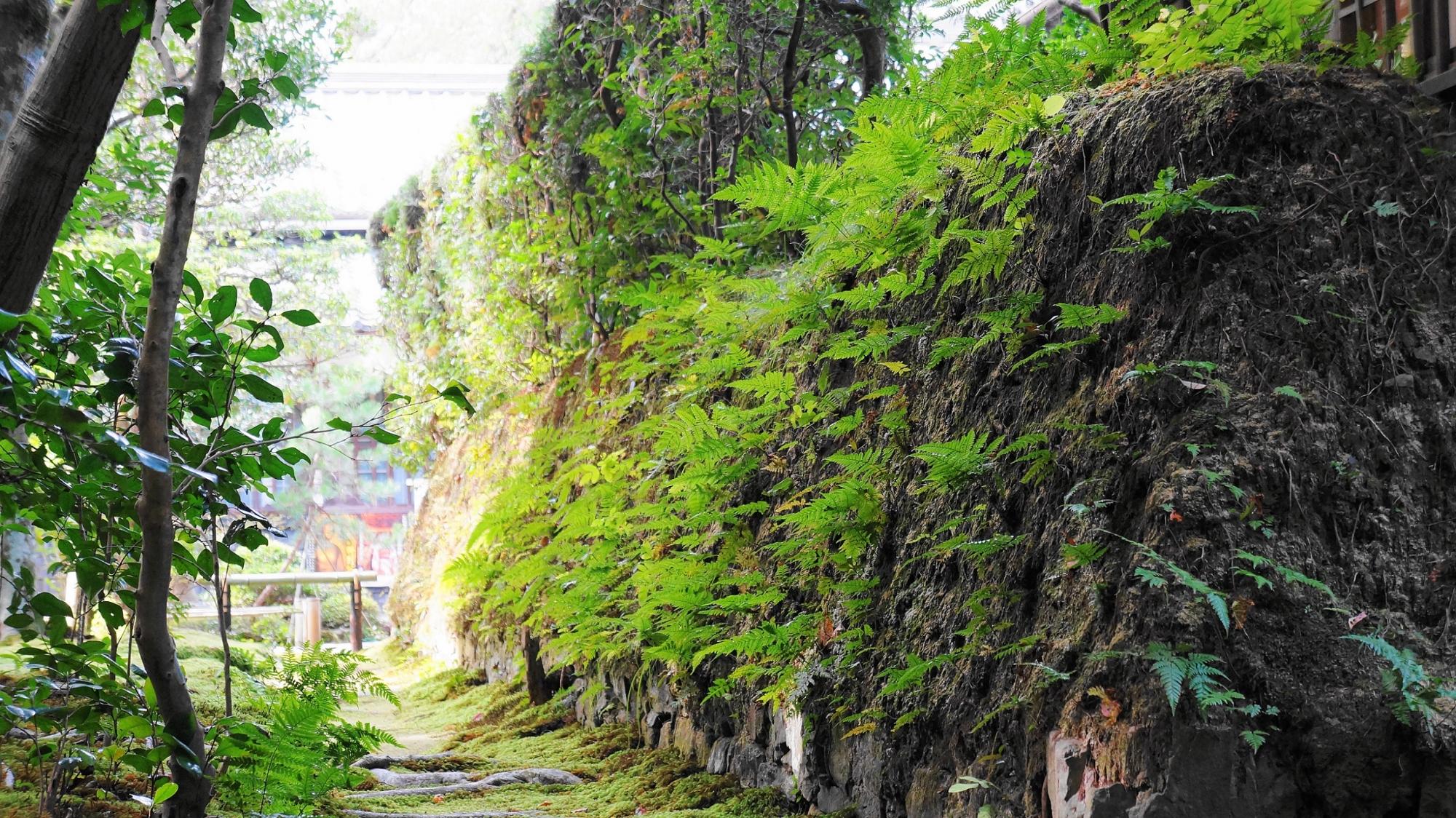 名所の法然院の風情ある苔とシダ