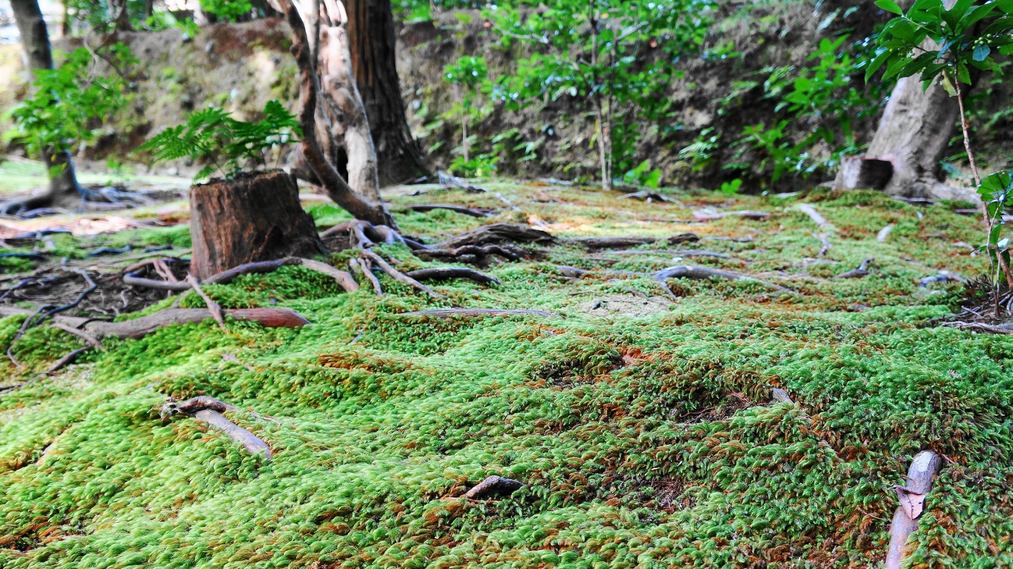 法然院の美しい苔とシダ 2012年11月