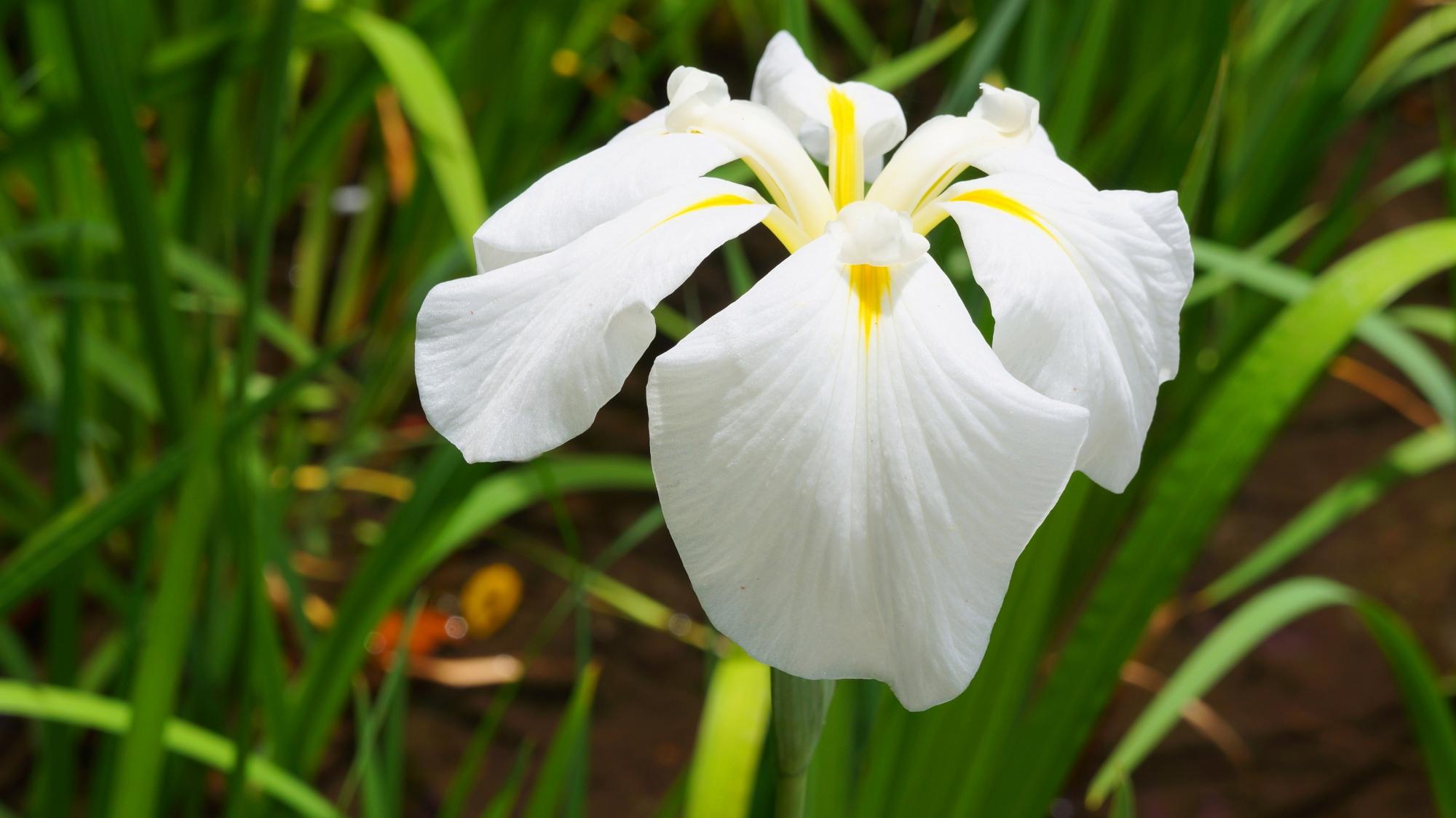 Japanese iris Heian-jingu Shrine Garden Kyoto spring