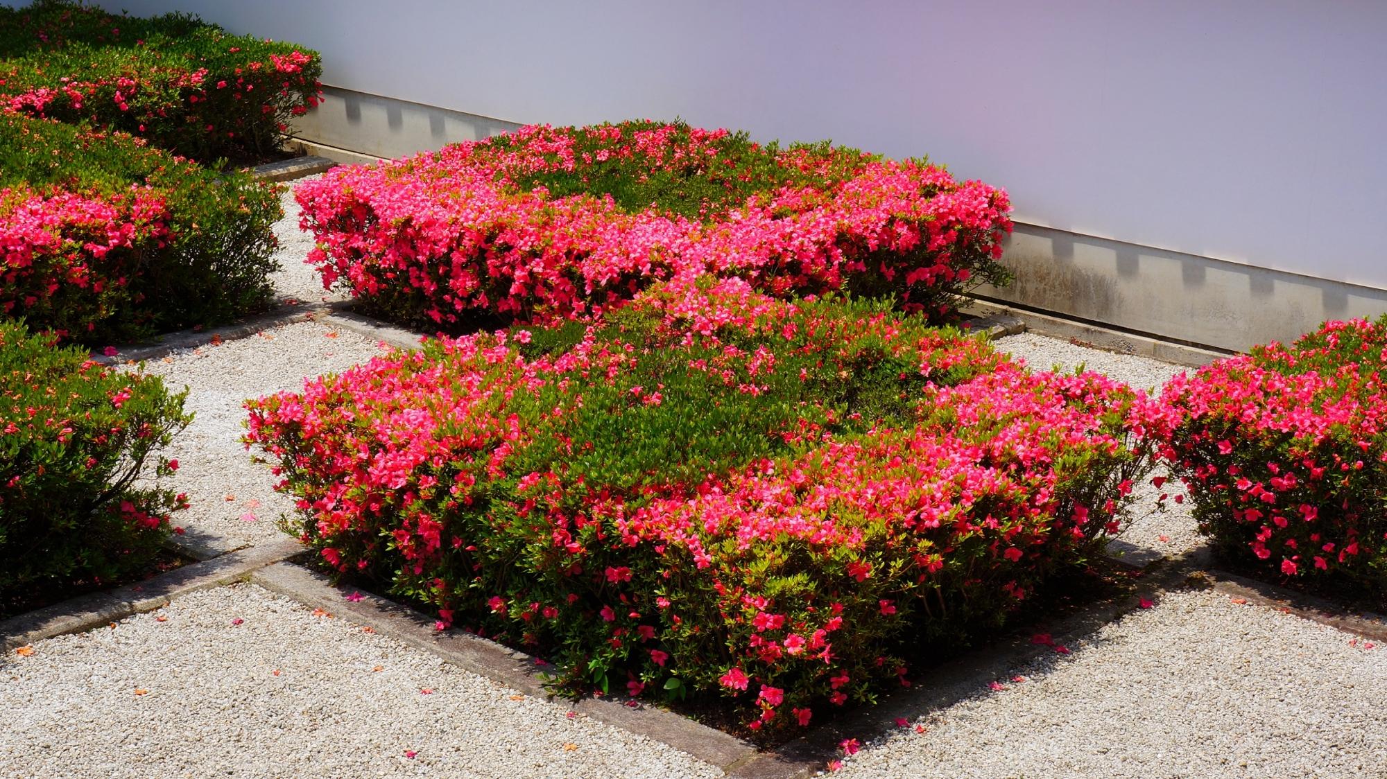 方丈庭園西庭の煌びやかに咲き誇る満開のサツキの花