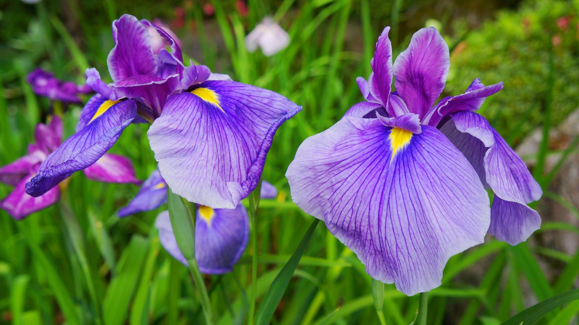 平安神宮神苑に咲く満開の花菖蒲(ハナショウブ) 2013年6月12日