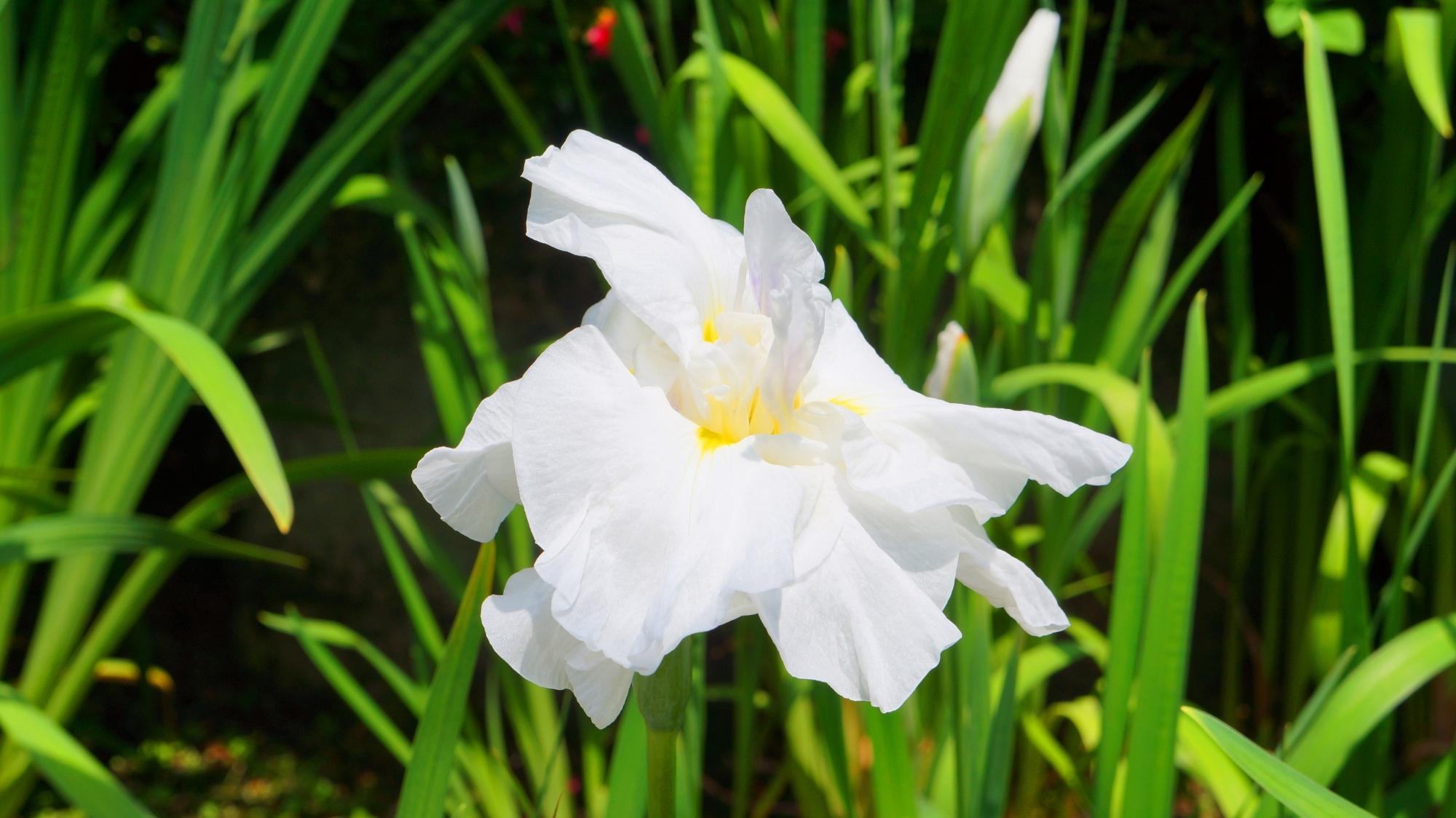 東福寺に咲く爽やかな白色の花菖蒲