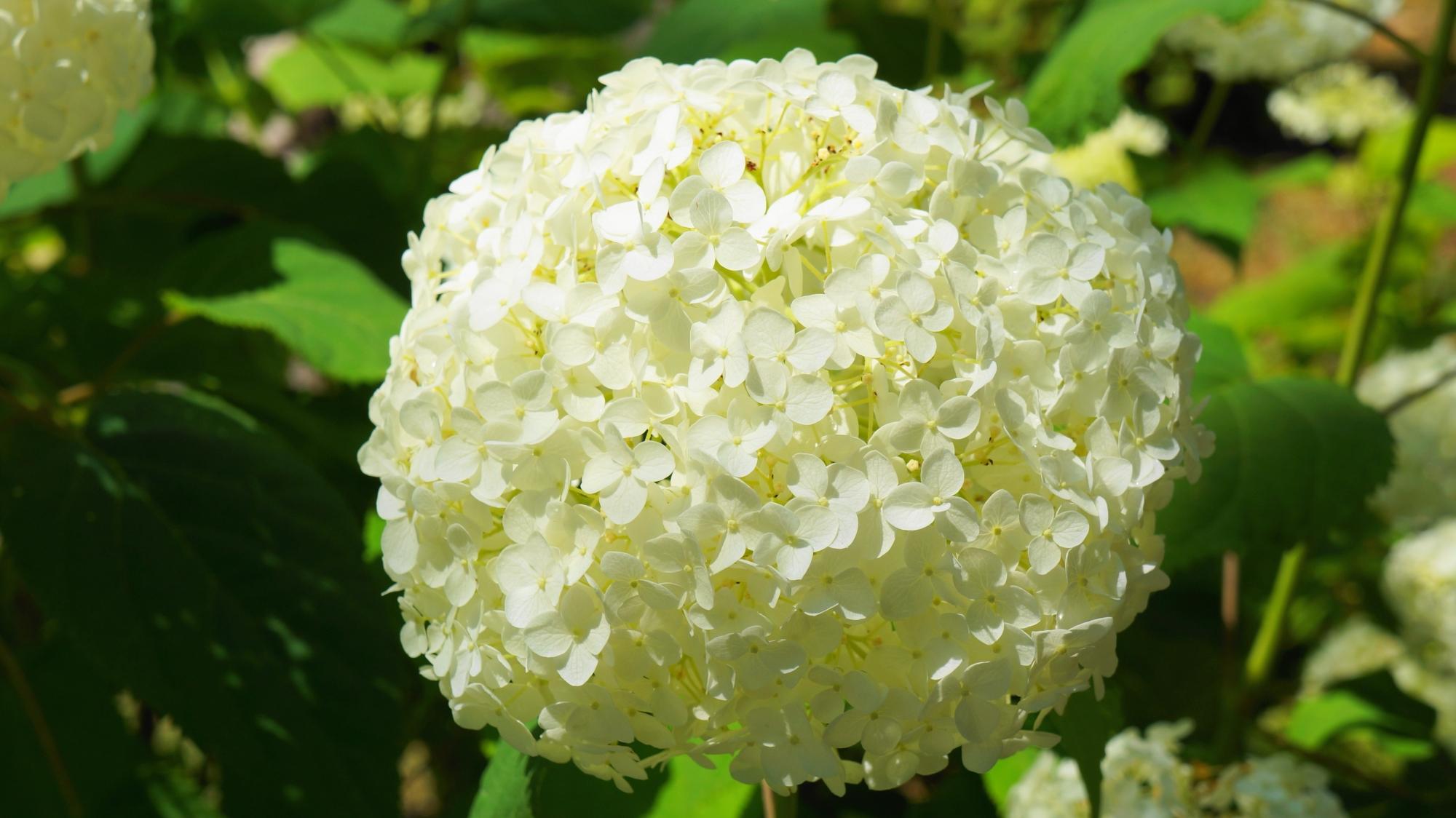 三室戸寺の元気いっぱいの白く爽やかな紫陽花