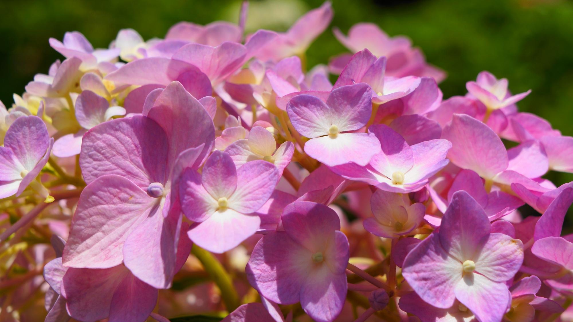三室戸寺の華やかな輝くピンクの紫陽花
