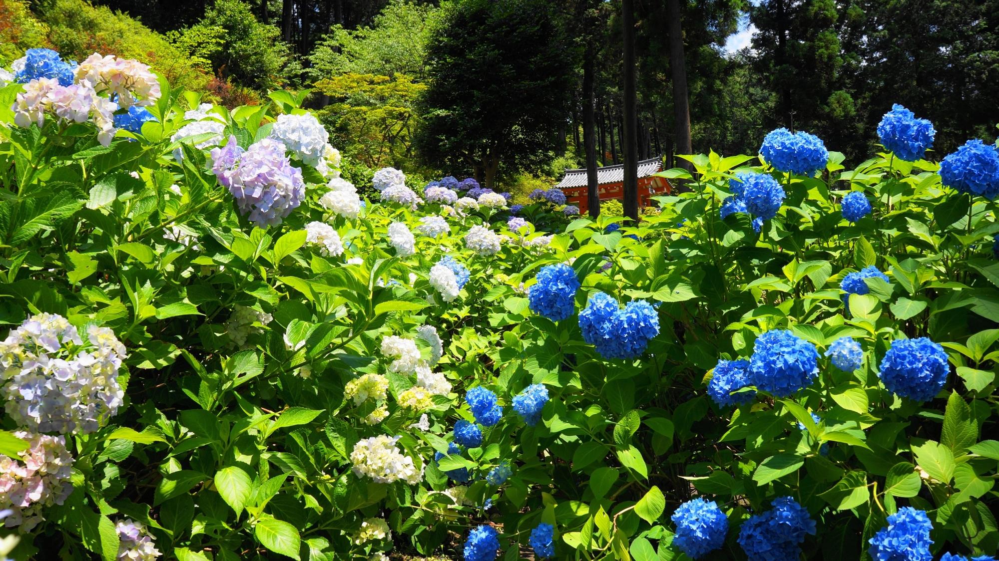 初夏の三室戸寺を彩る色とりどりの紫陽花