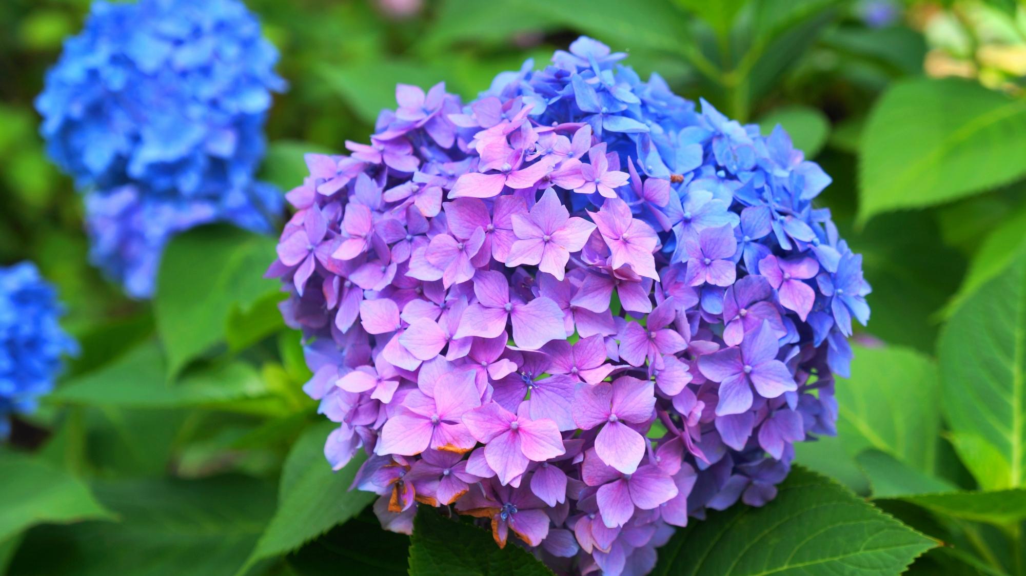 三室戸寺の青と紫の2色仕様の紫陽花