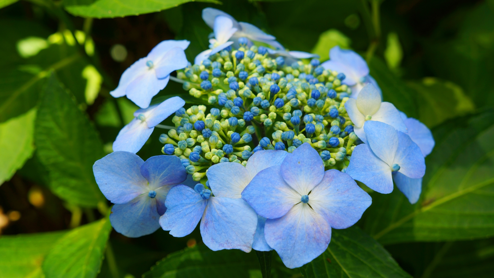 三室戸寺の華やぐ涼しげな淡い水色の額紫陽花