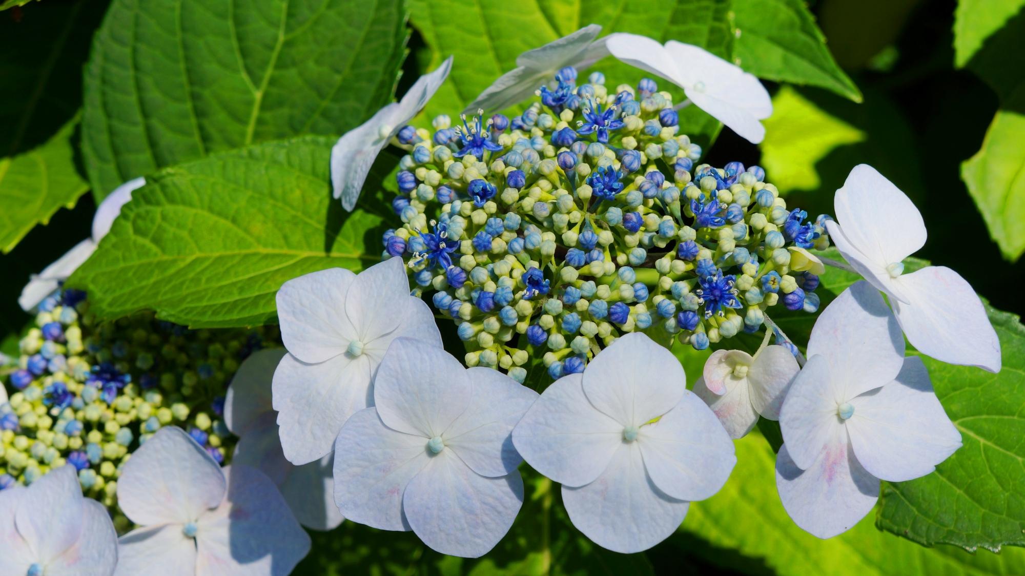 あじさい園だけでなく境内のいろんな場所に紫陽花が咲く三室戸寺