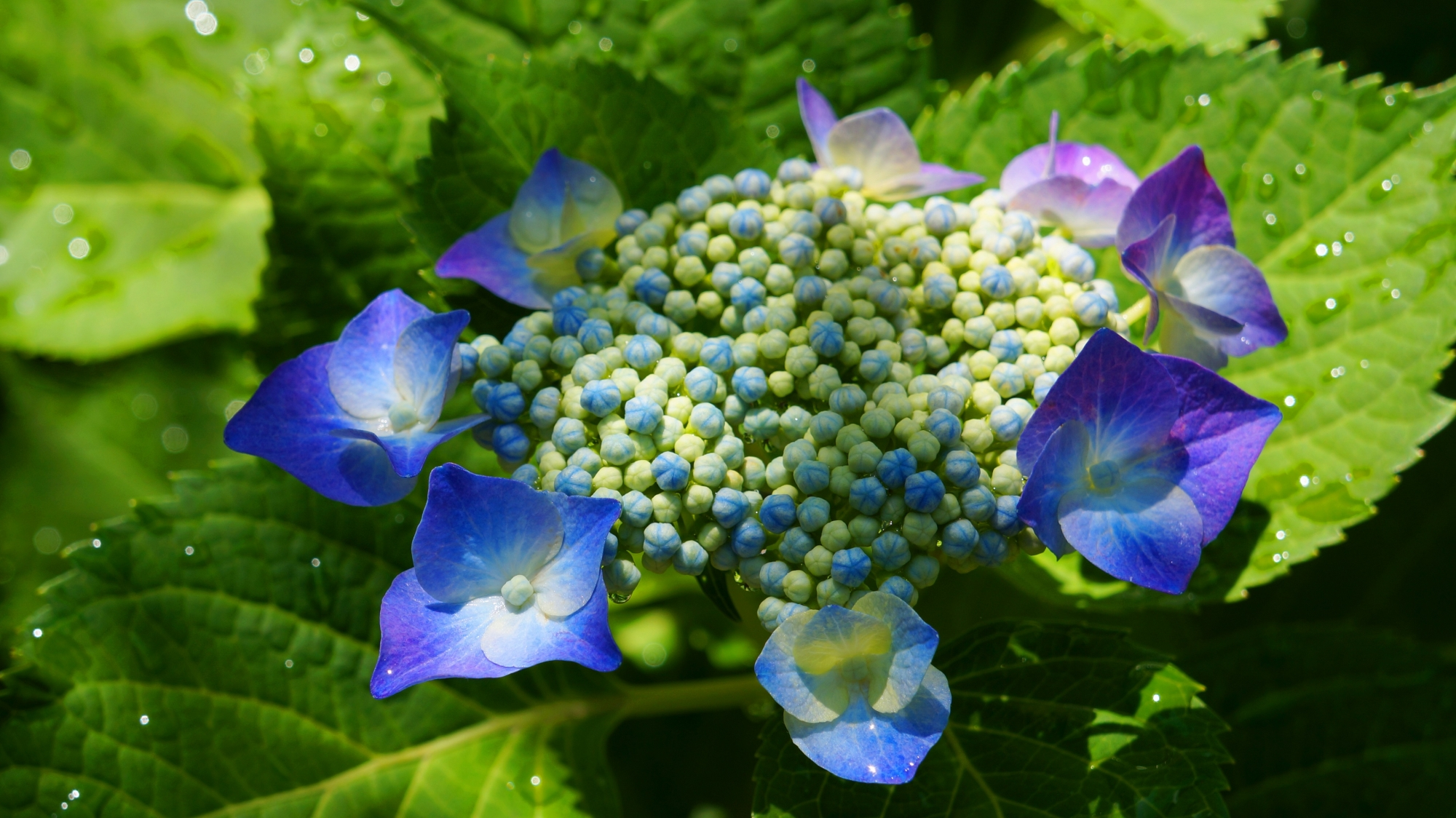 雨水が潤す鮮やかな青と紫の額紫陽花