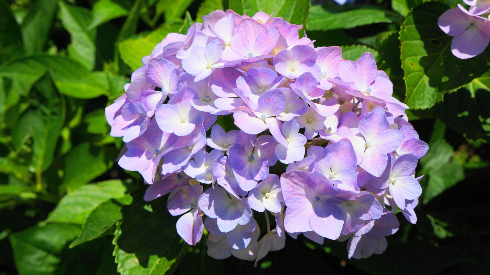 ほのかな薄紫の優しそうな紫陽花