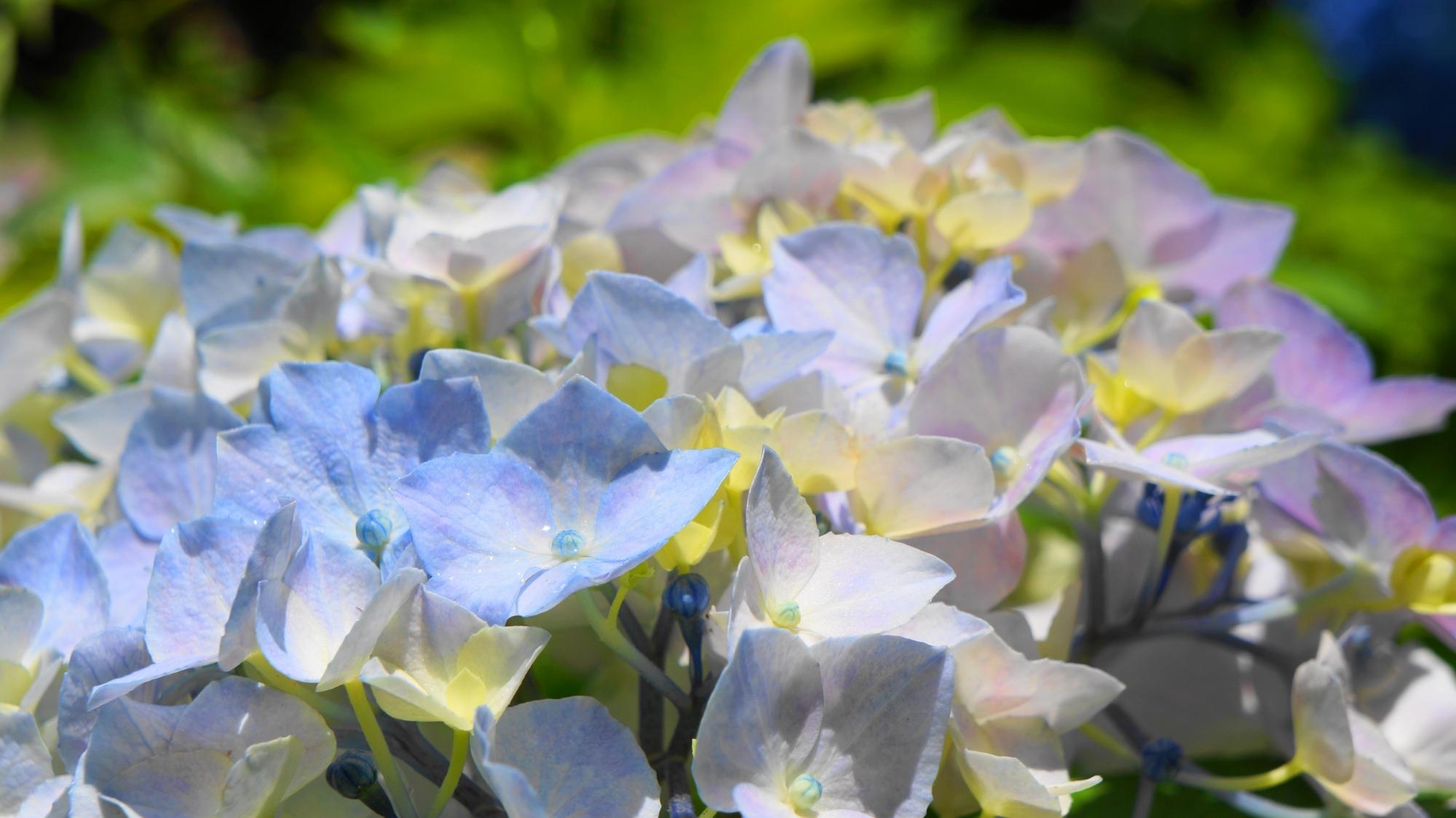 アジサイの可愛いく華やかな花びら