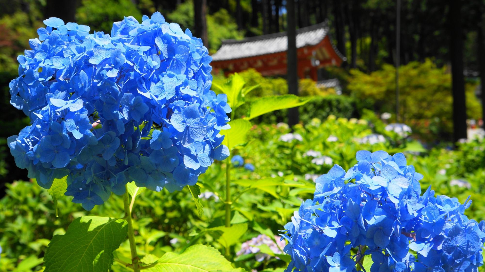 真ん丸ではない少し変わった形をした青い紫陽花