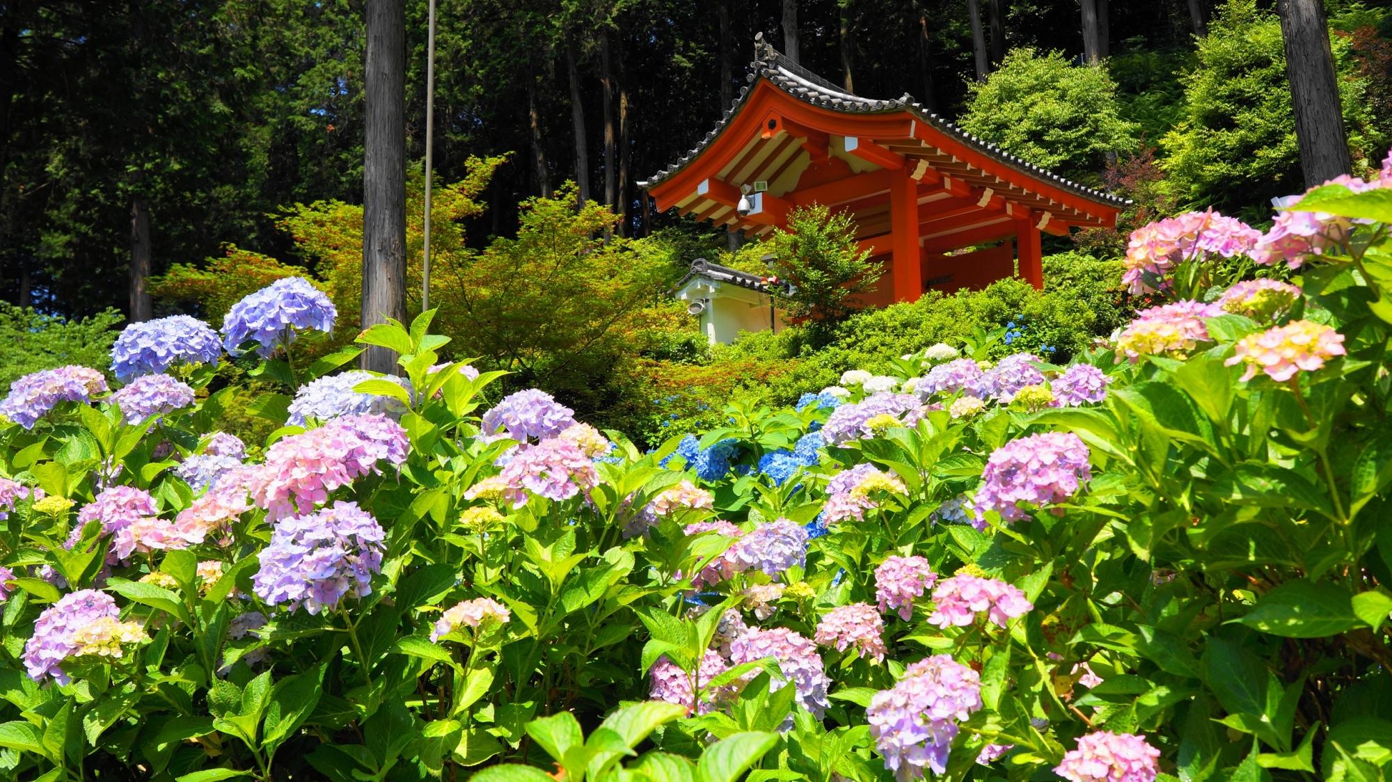 たくさんの煌く紫陽花につつまれるあじさい園と山門