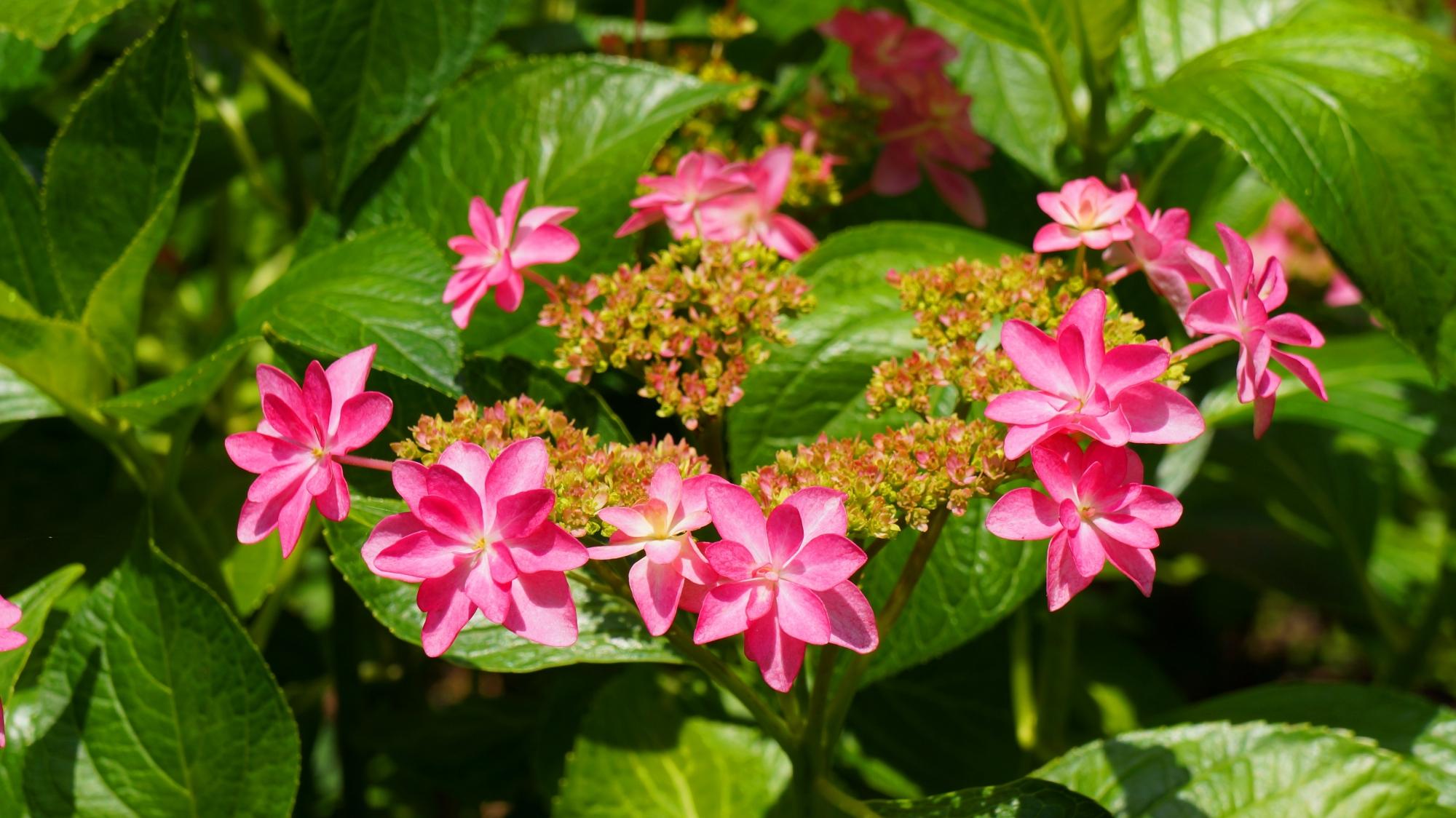 緑の葉の上で賑やかに咲き誇る三室戸寺のホシアジサイ
