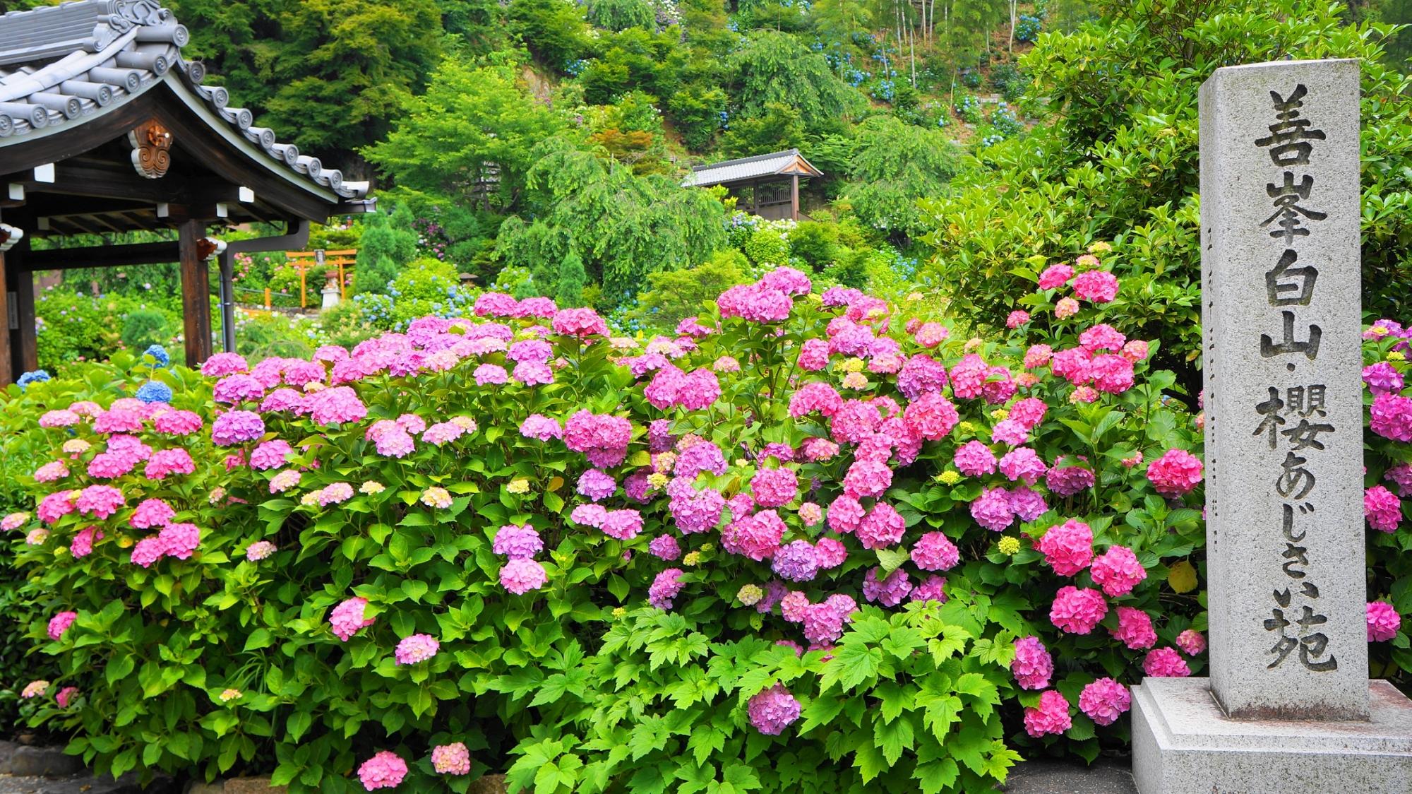 鮮やかなピンクの紫陽花が溢れる善峯寺の「あじさい苑」