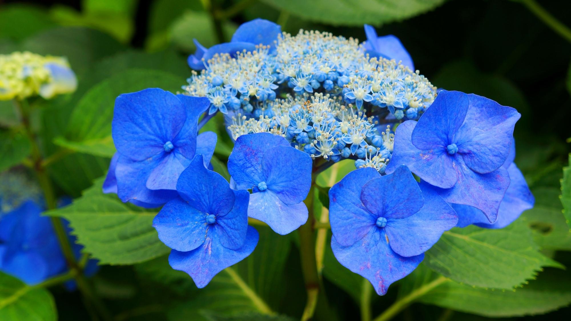善峯寺の鮮やかな青い額紫陽花(ガクアジサイ)