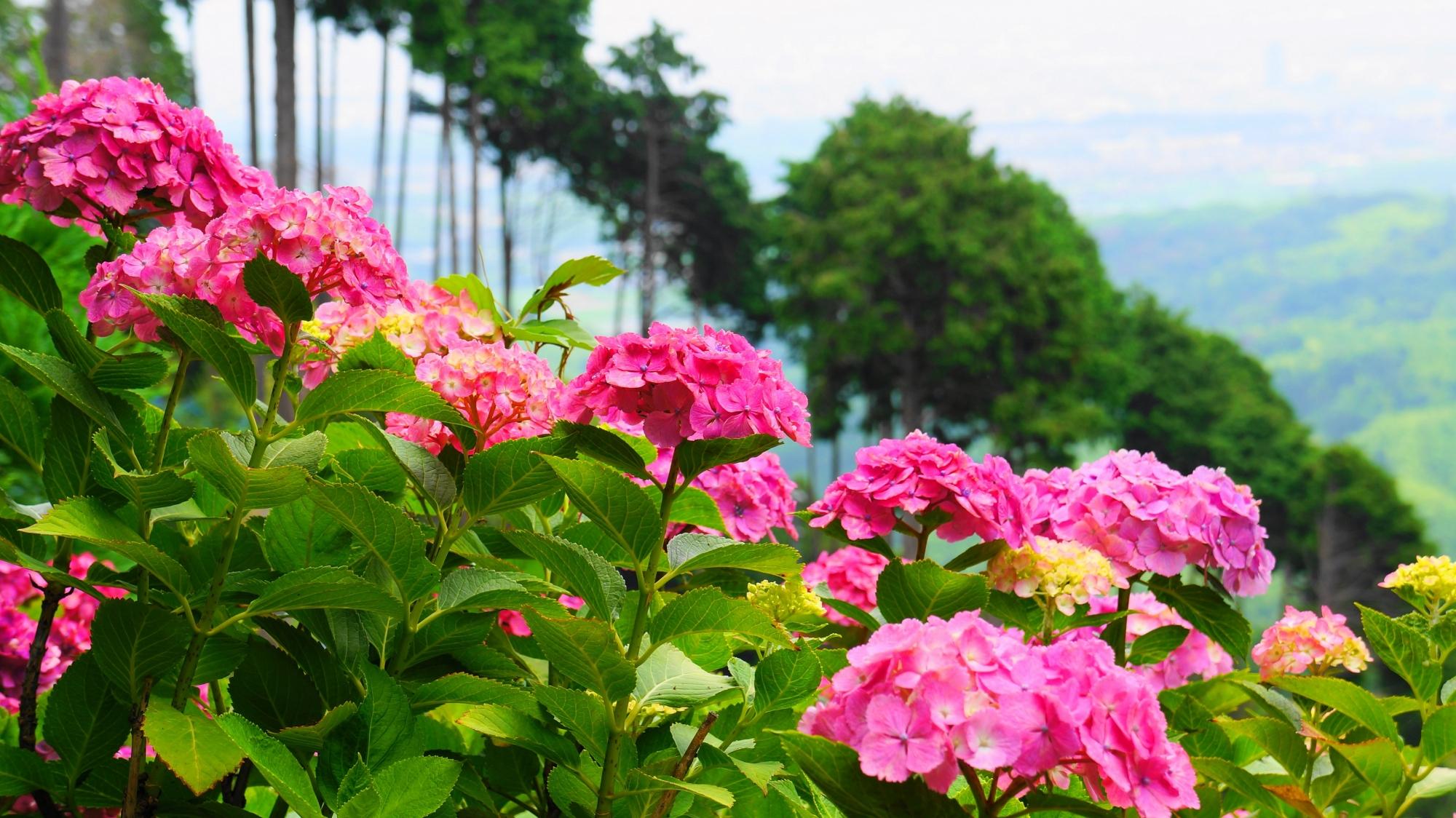 善峯寺の背景の開けた鮮やかなピンクの紫陽花