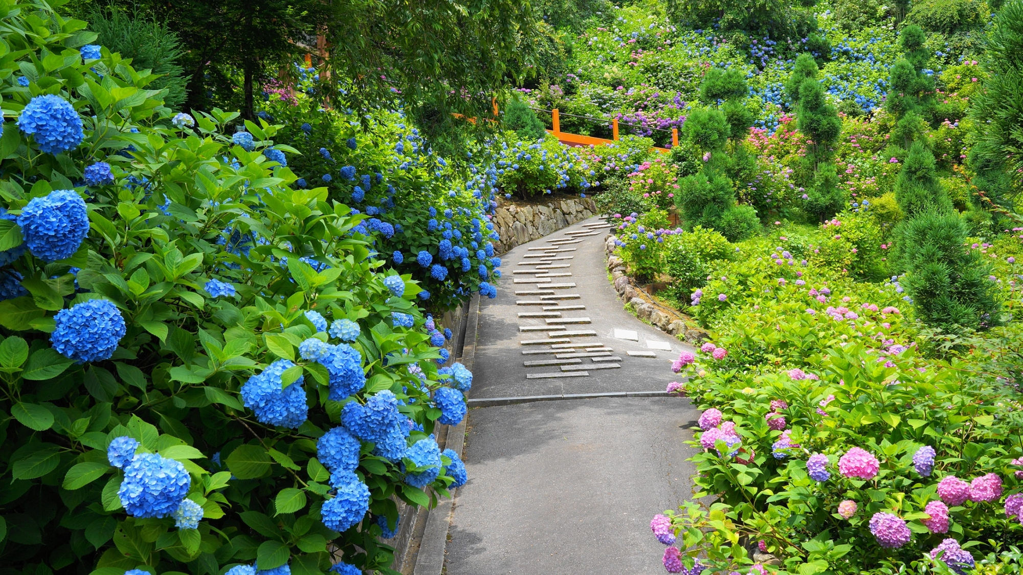 善峯寺の参道の両脇を彩る青やピンクの紫陽花
