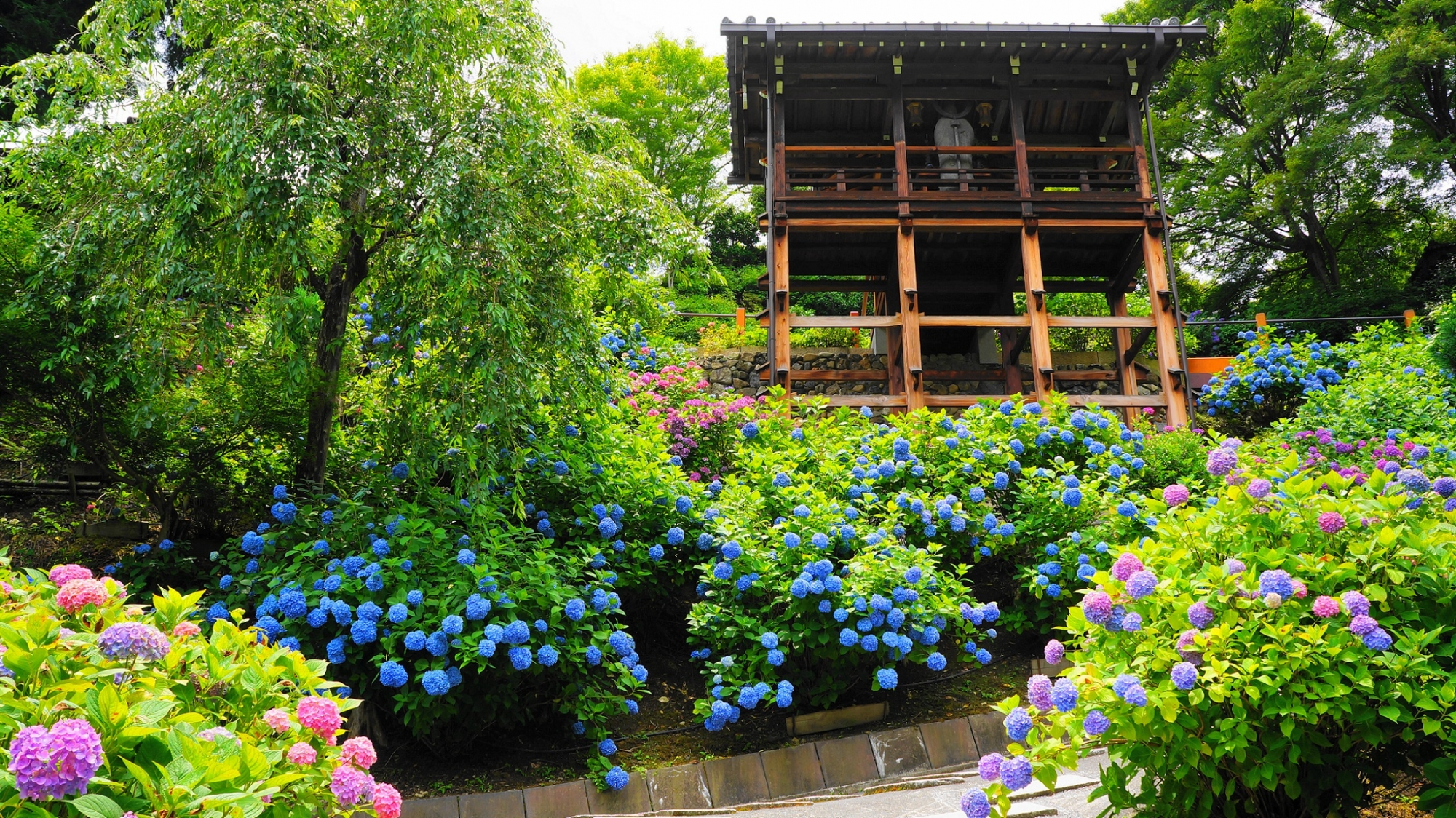 満開の紫陽花につつまれる善峯寺の幸福地蔵